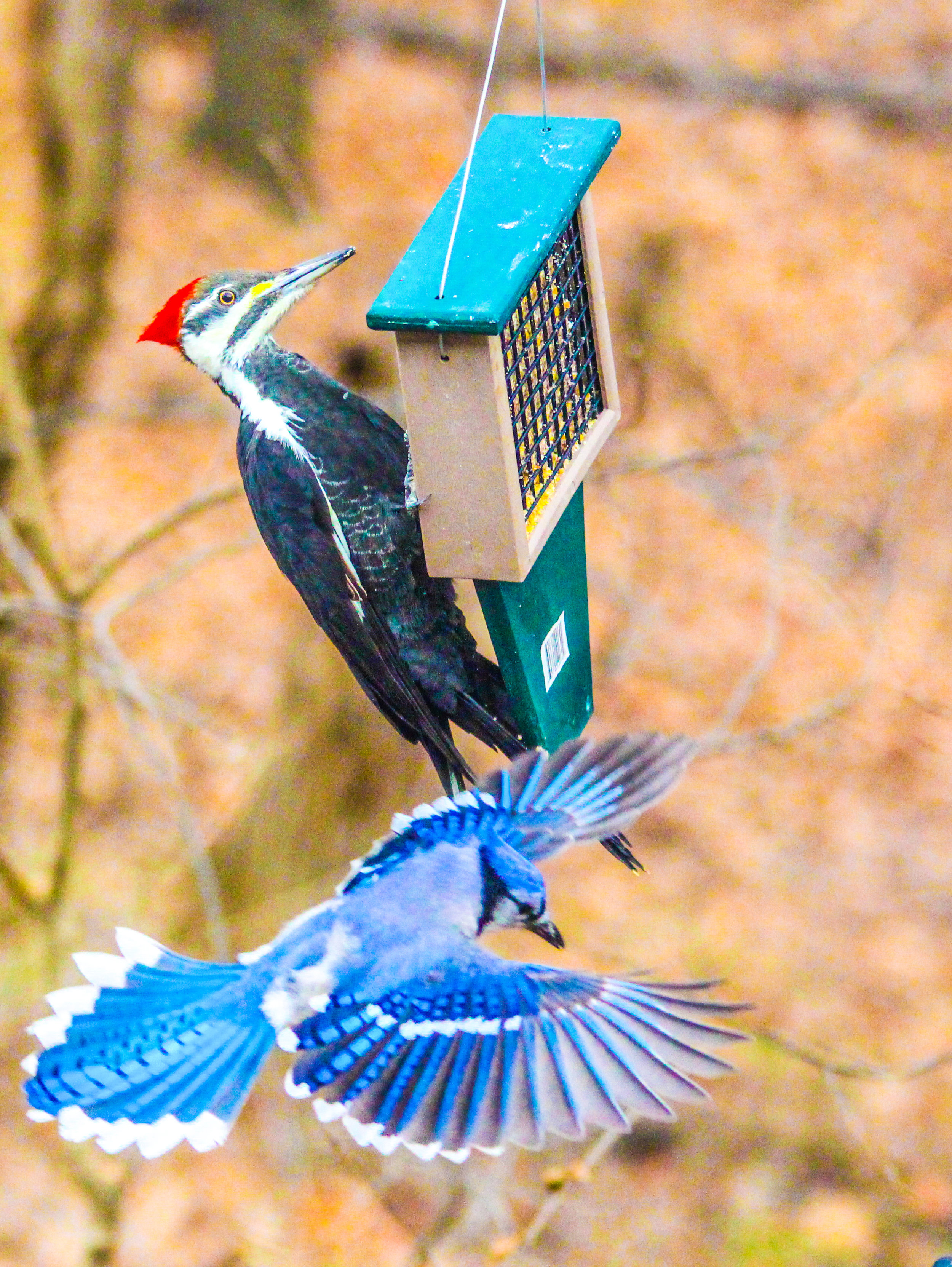 jay and woodpecker.jpg