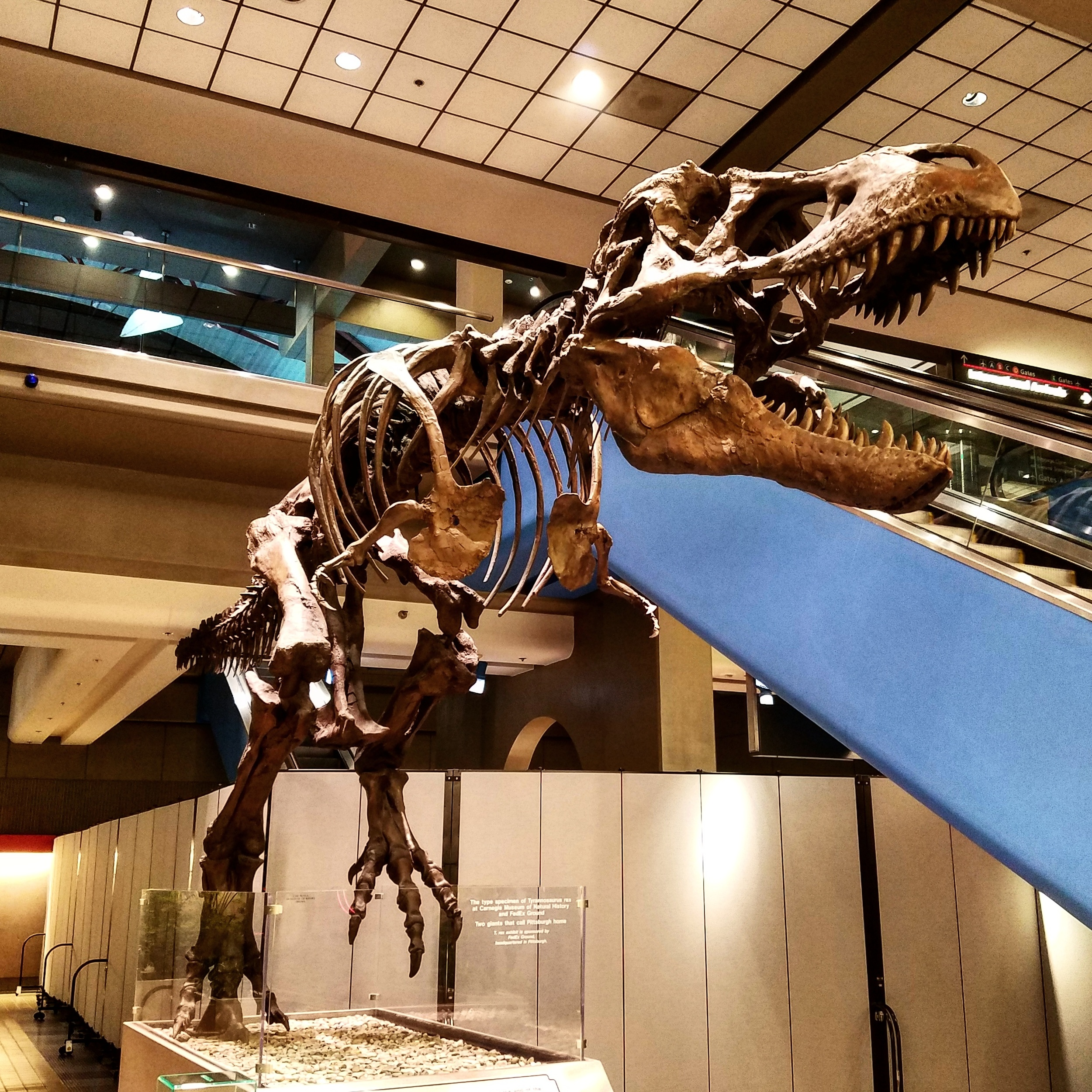 T-rex in Pittsburgh International Airport. April 2016.