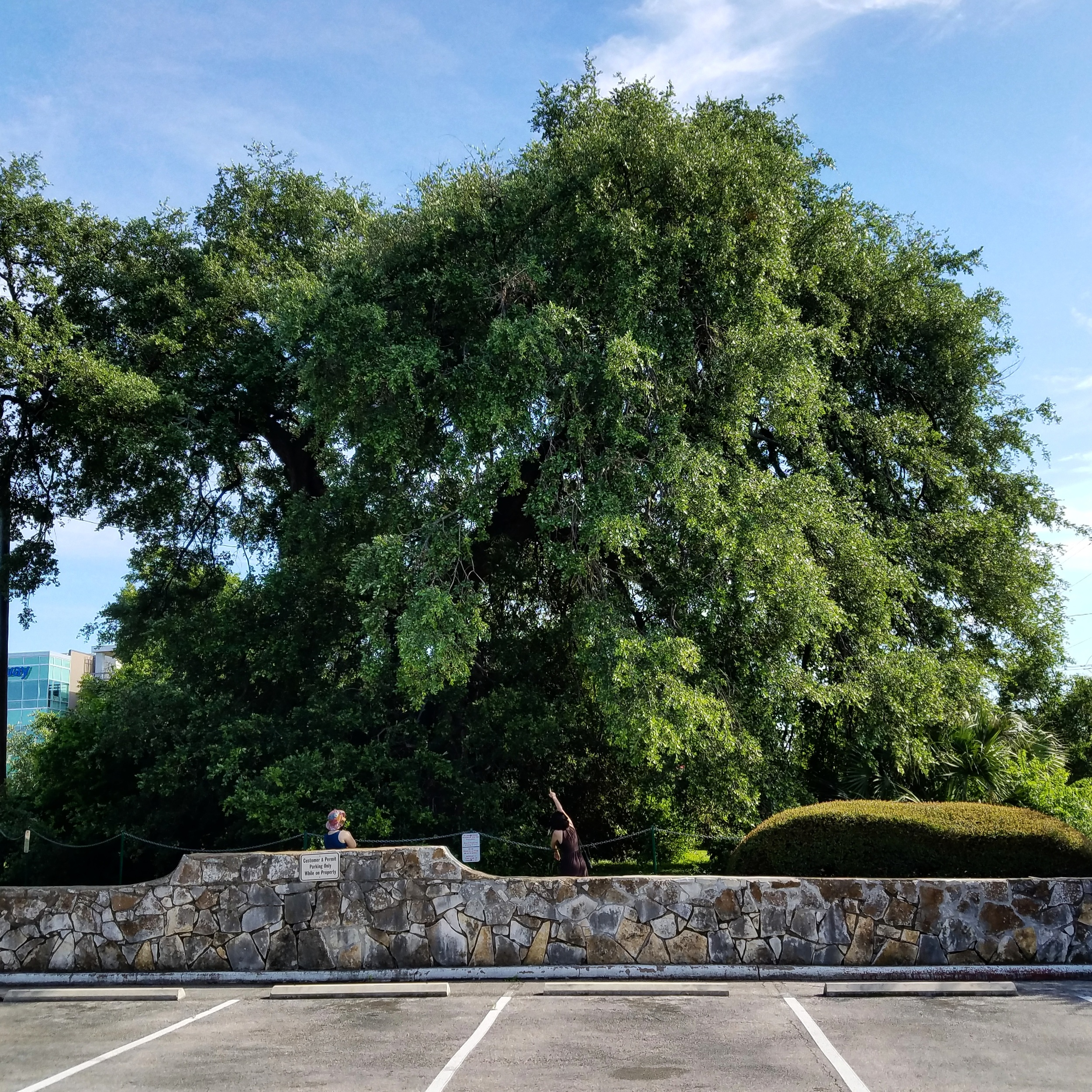 The Treaty Oak in Austin, Texas. June 2016.