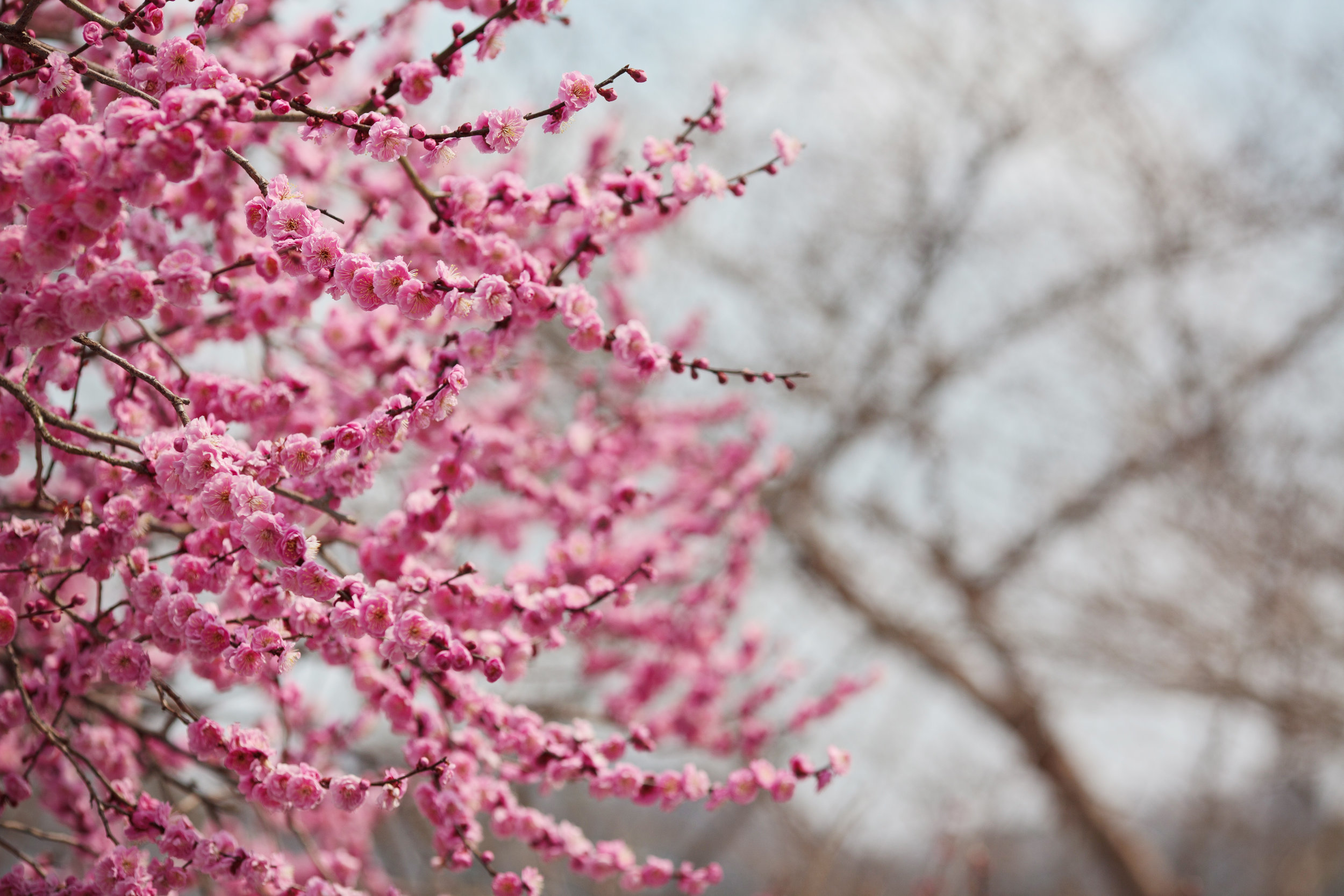 Plum blossoms blowing in the wind near Hiroshima, Japan.