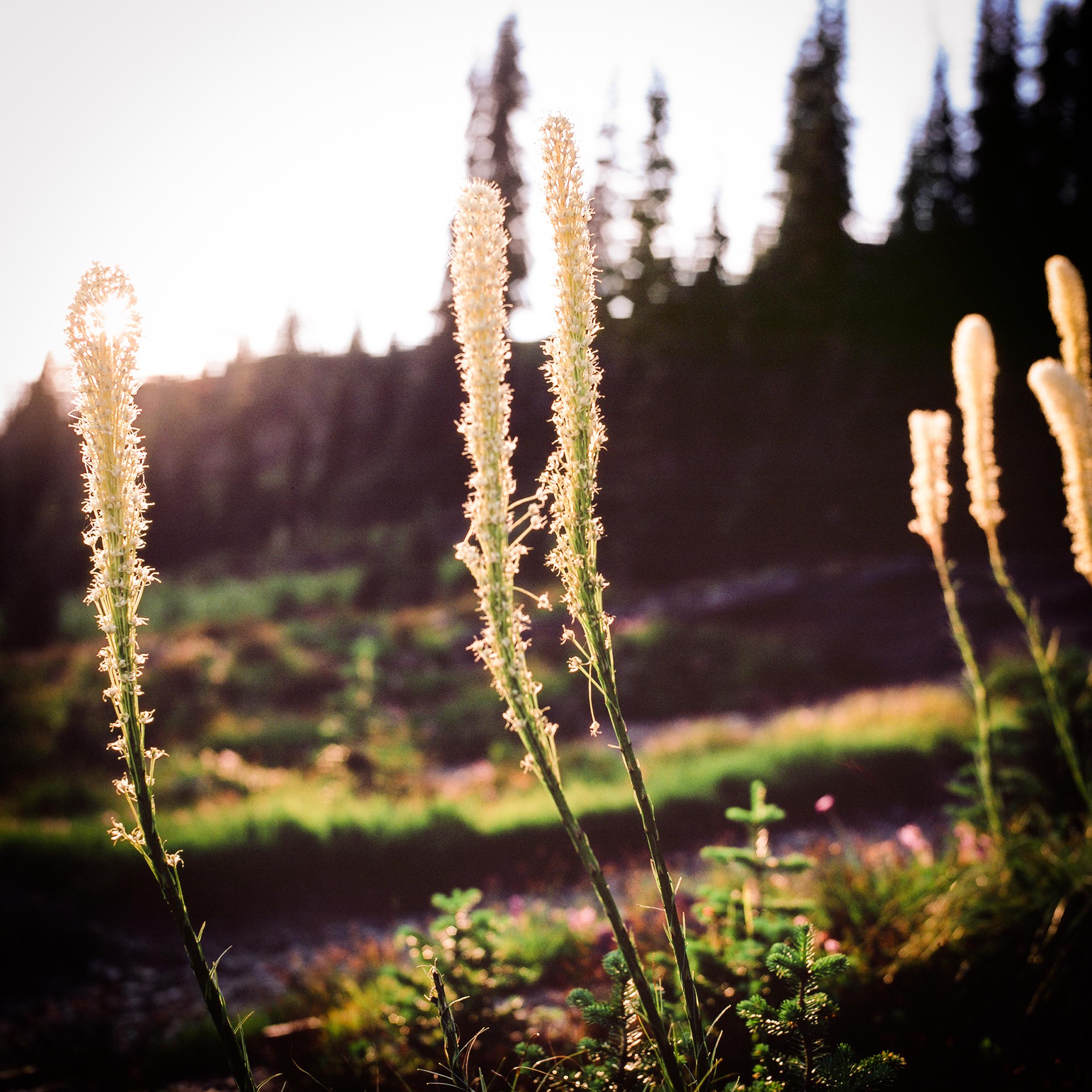 bear grass sunset.jpg