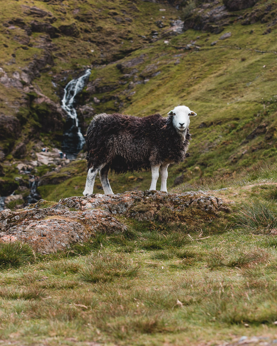The sheep that roam the mountains, and sleep on the roads!
