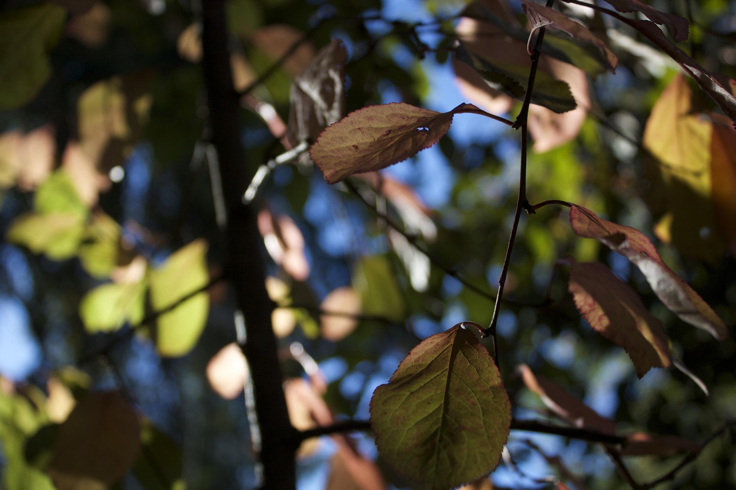 Grandma's plum tree in October.