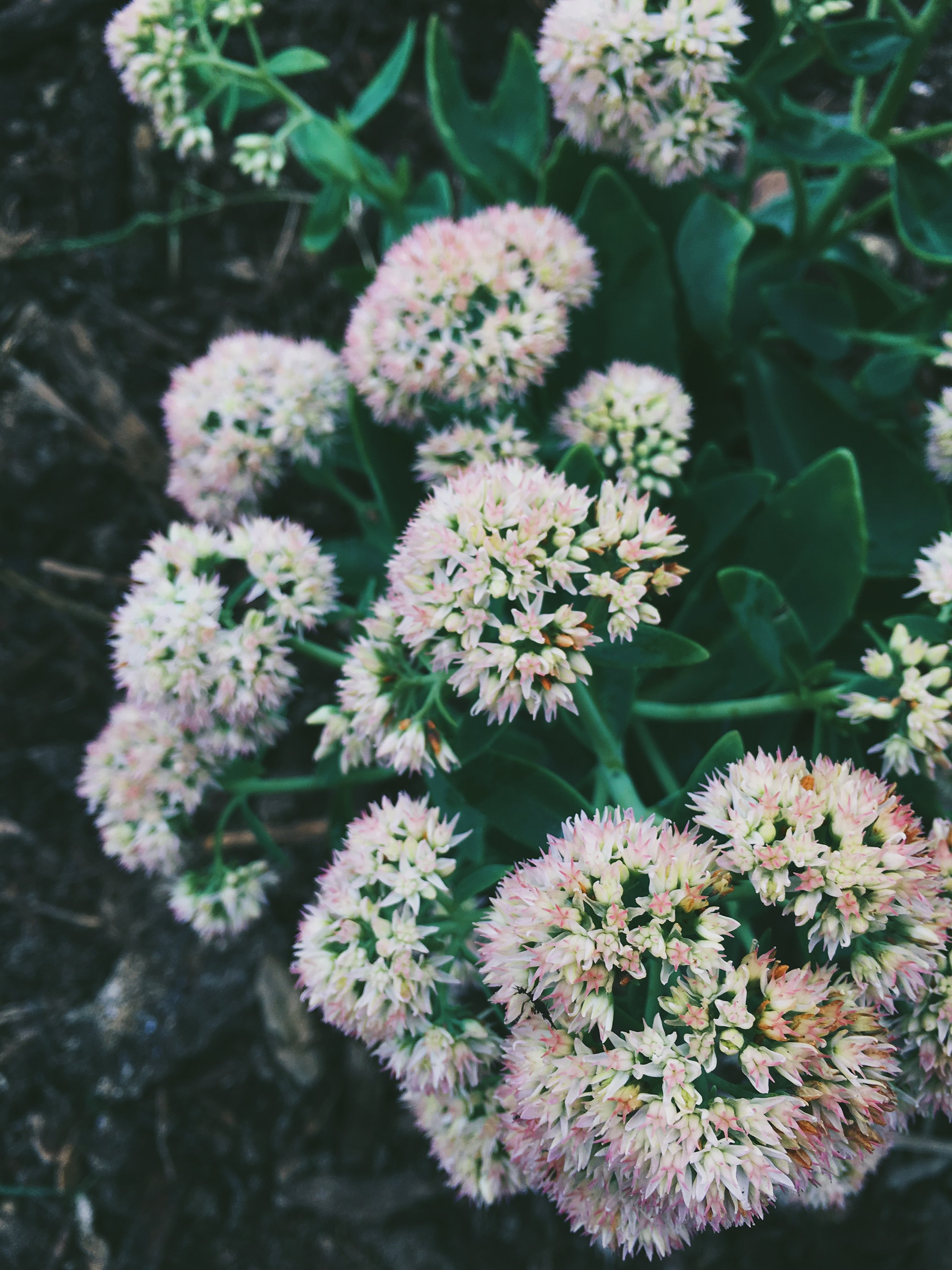 Our sedum before they froze...can't wait for them to bloom again!