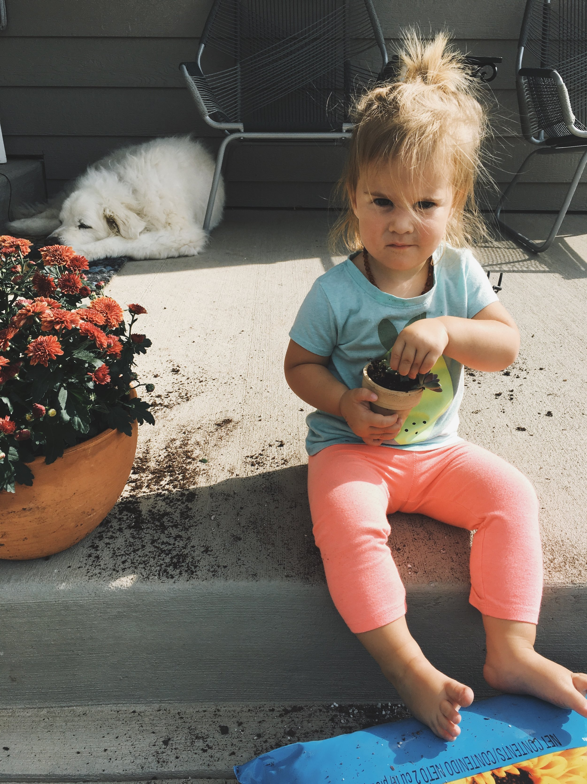 Potting mums in the fall