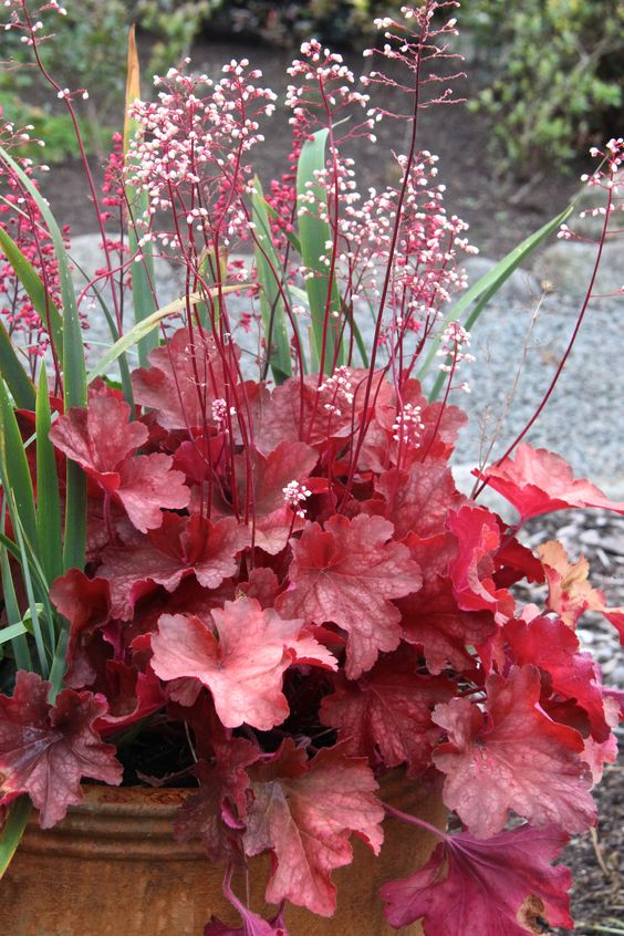 Pinterest - Coral Bell