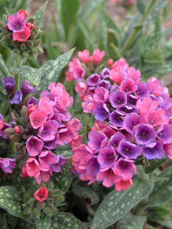 Birds And Blooms - Lungwort