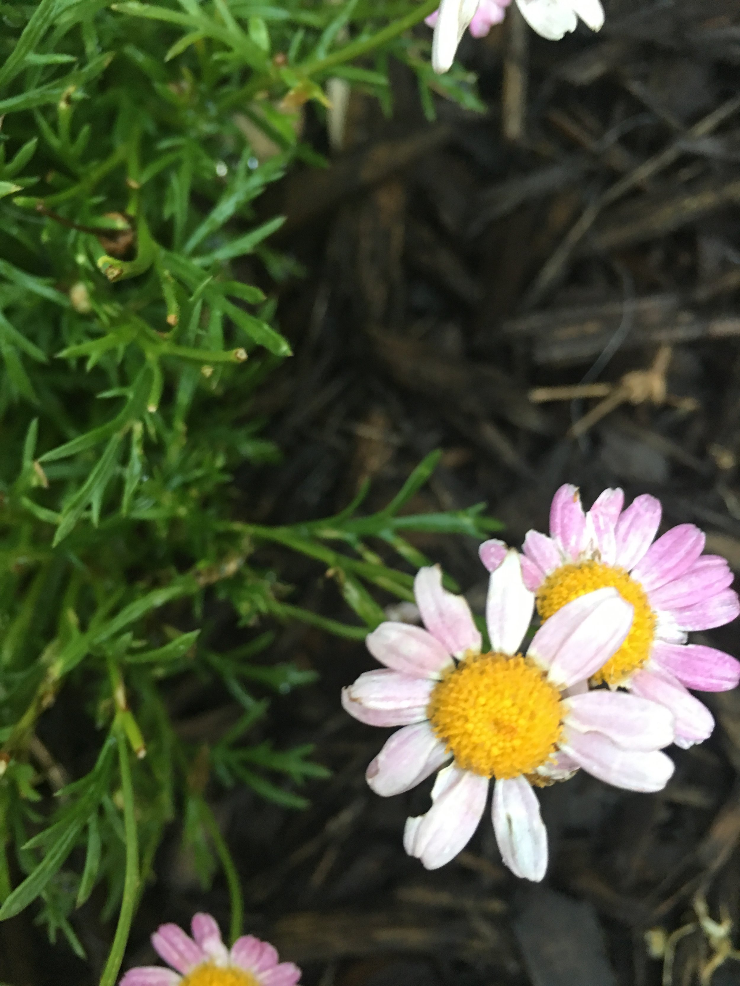 Hurd & Honey - Marguerite Daisy Zones 9-11