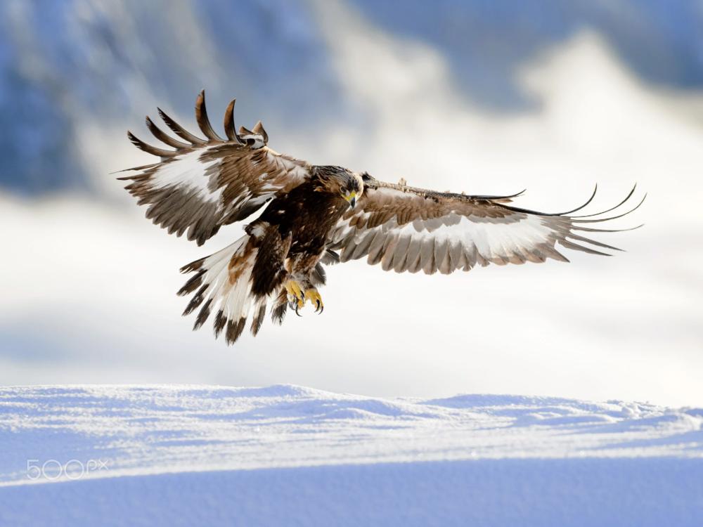 Golden eagle landing in snow, ...  by  Bjørn H Stuedal  on  500px.com