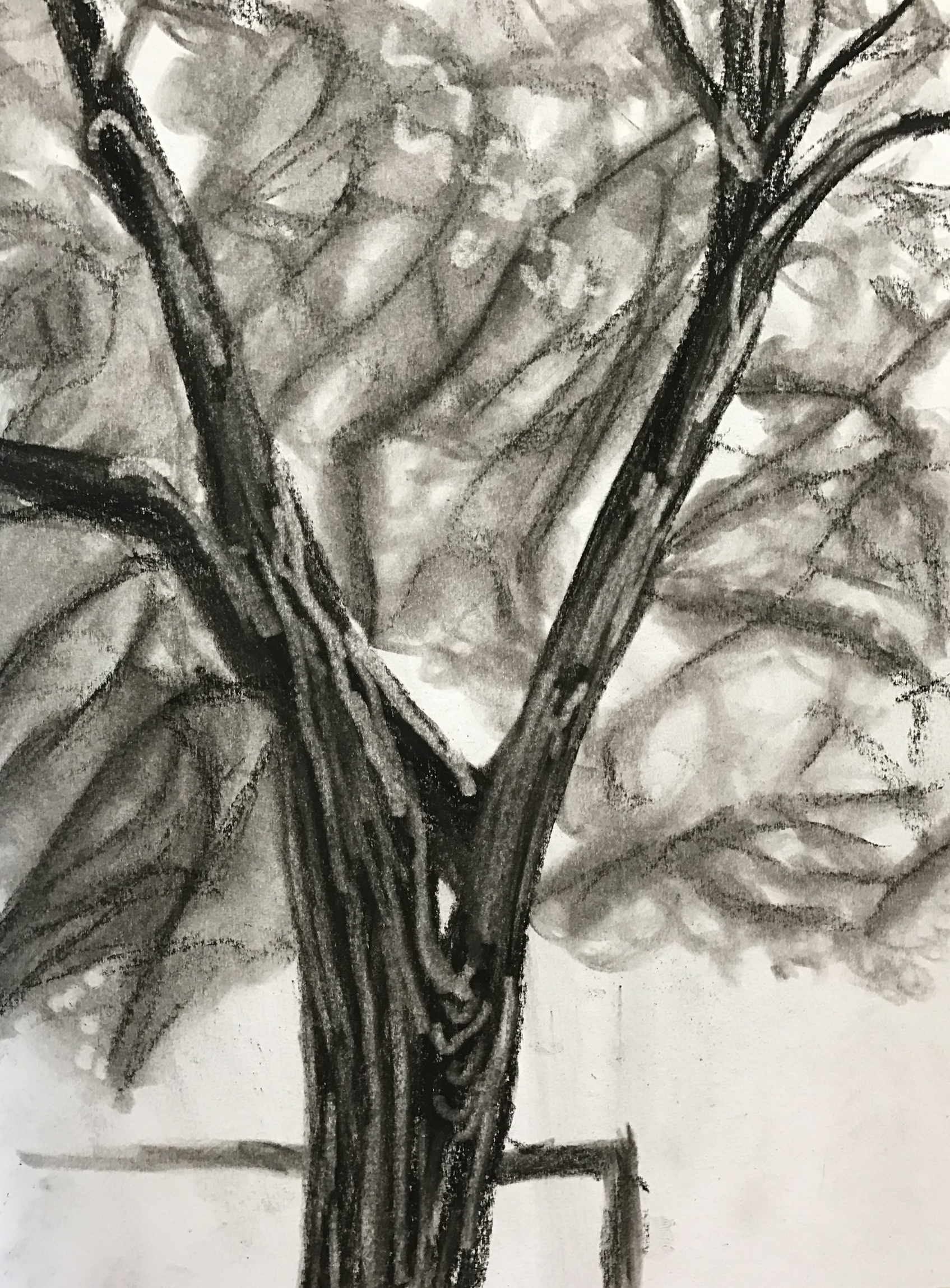 """The Big Tree at Buddies  Charchoal on Paper  8.5""""x11""""  $60"""