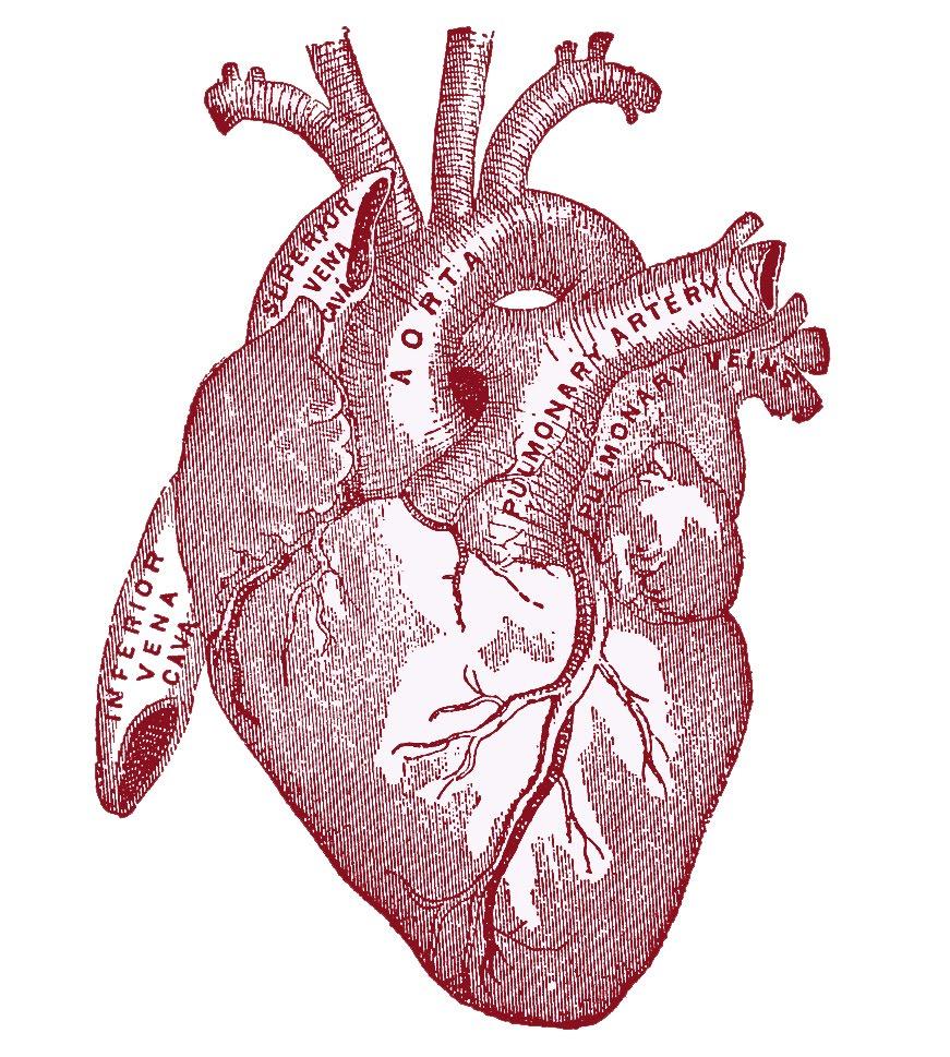 heart-vintageanatomy.jpeg