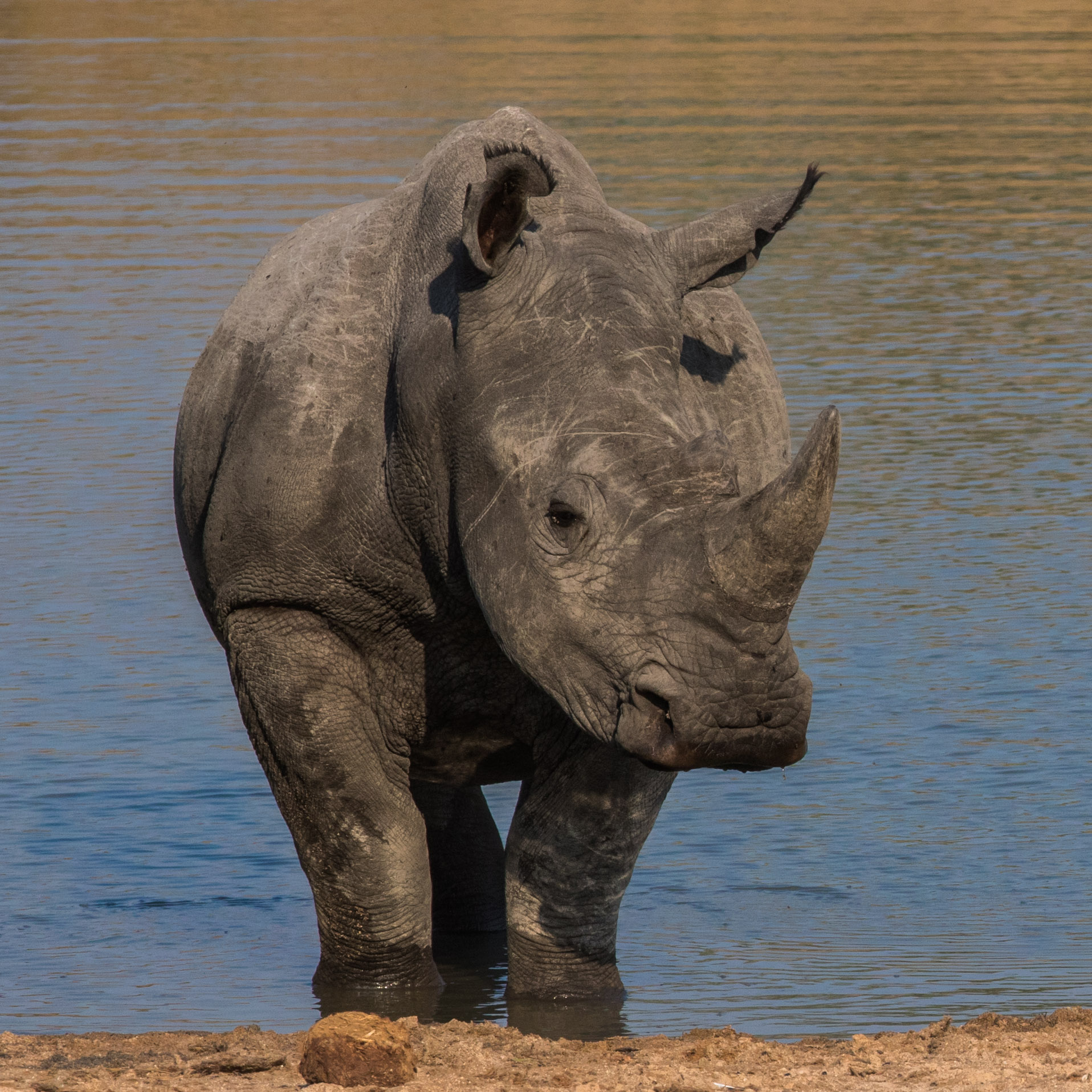 A white rhinoceros cools itself down from the water's edge.