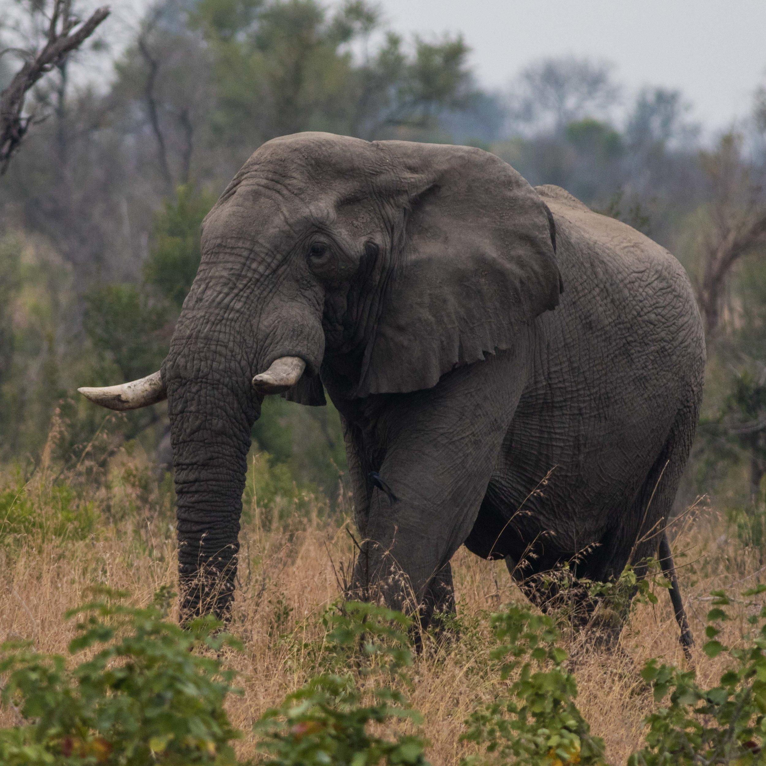 An elephant bull walks slowly through the bushveld.