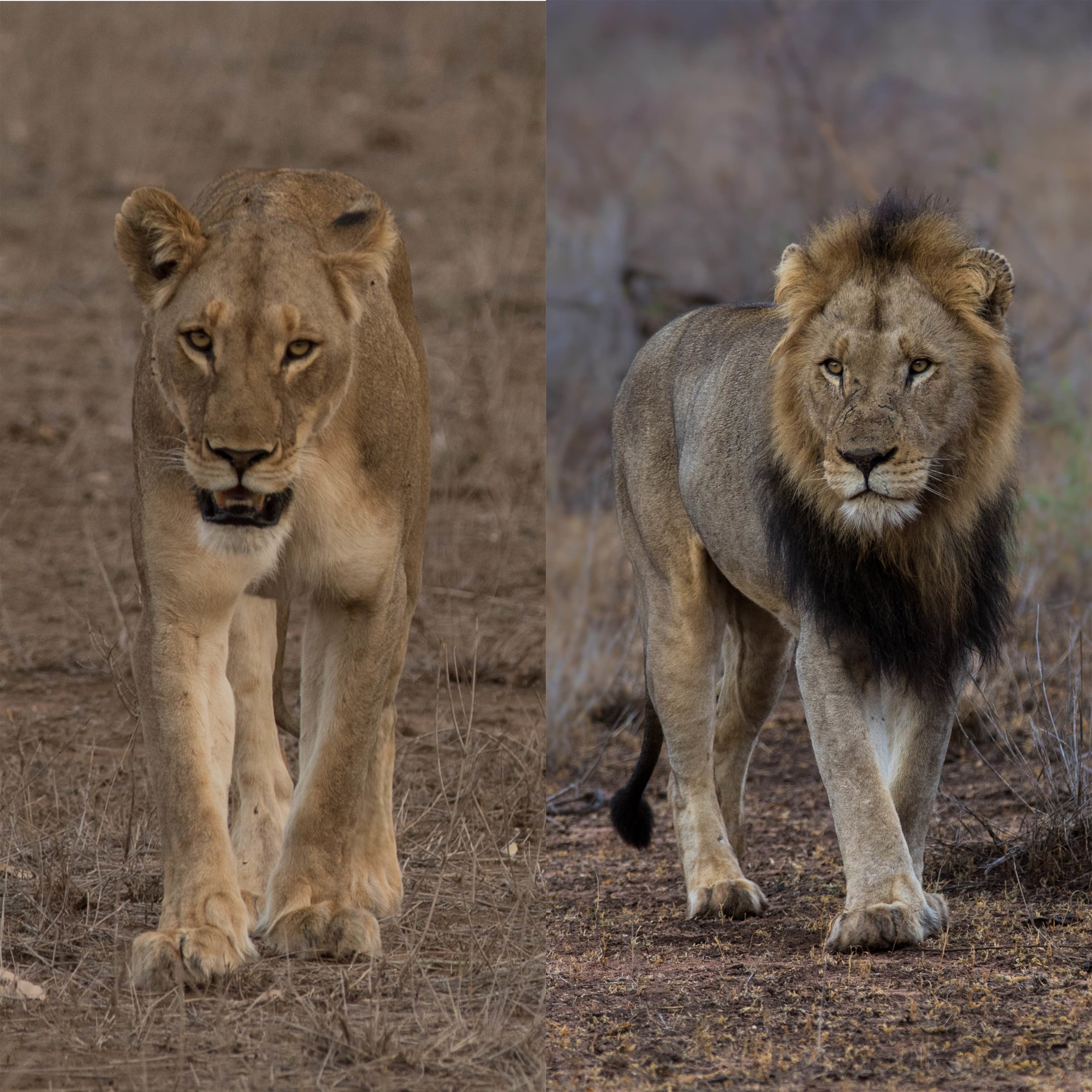 Left:   An adult female lion (known as a 'lioness').  Right:   A mature male lion.