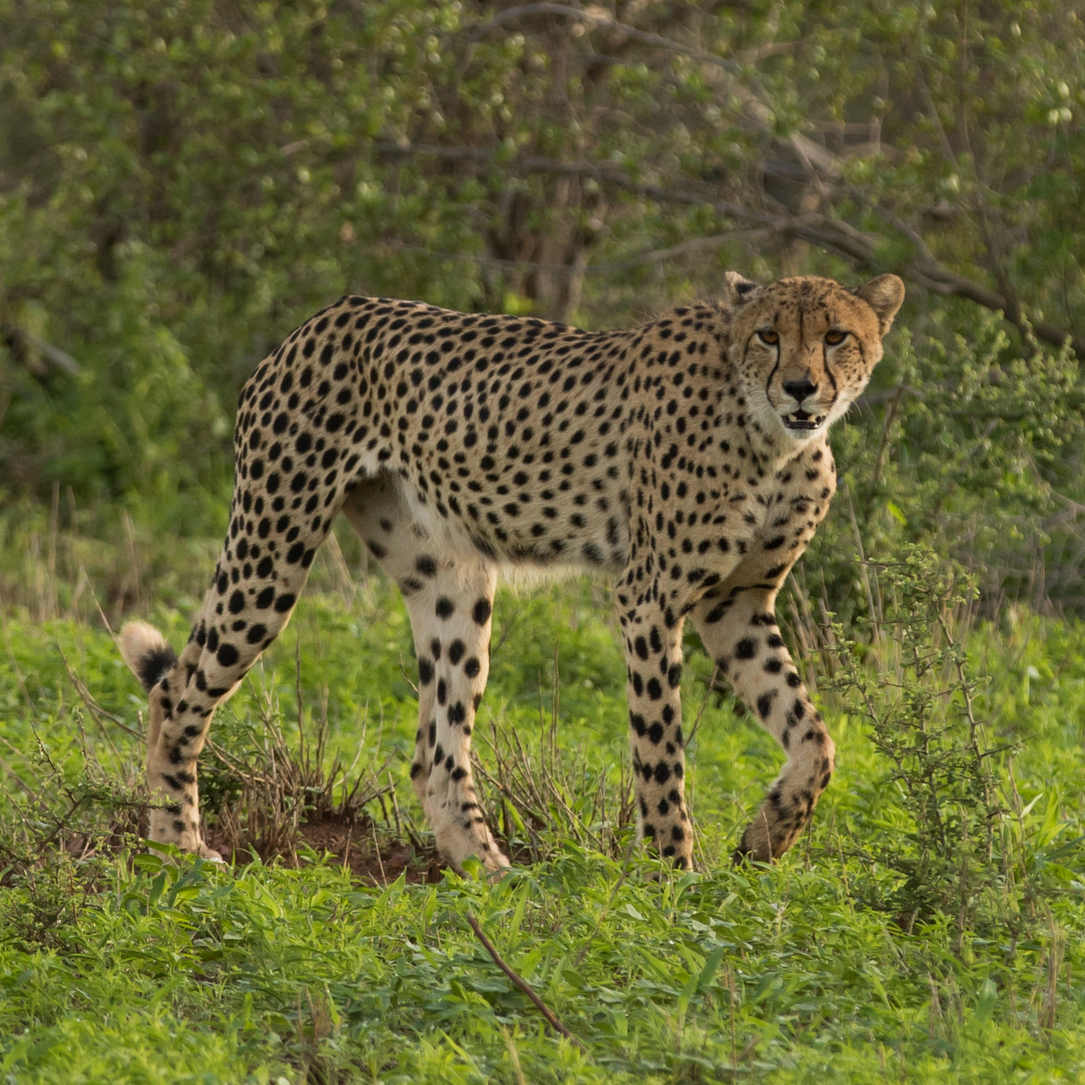 A cheetah wanders through the green grasses in search of a hunting opportunity.