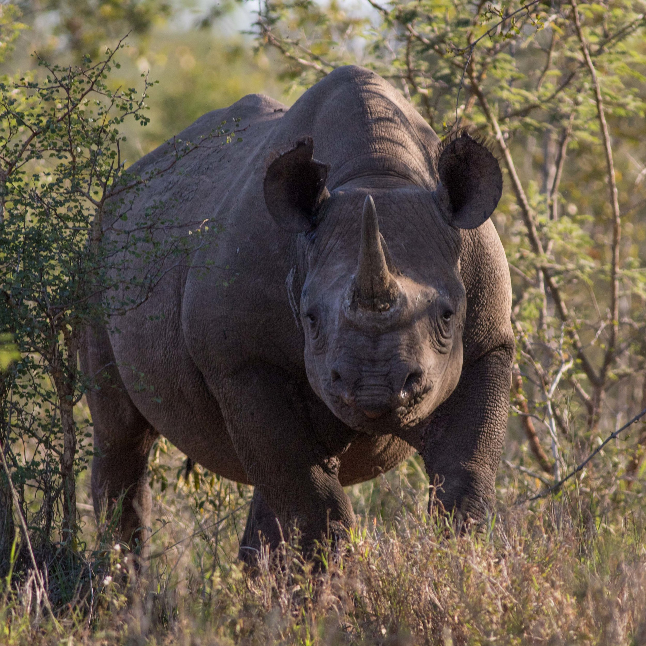 An adult black rhinoceros pauses to investigate its surroundings.