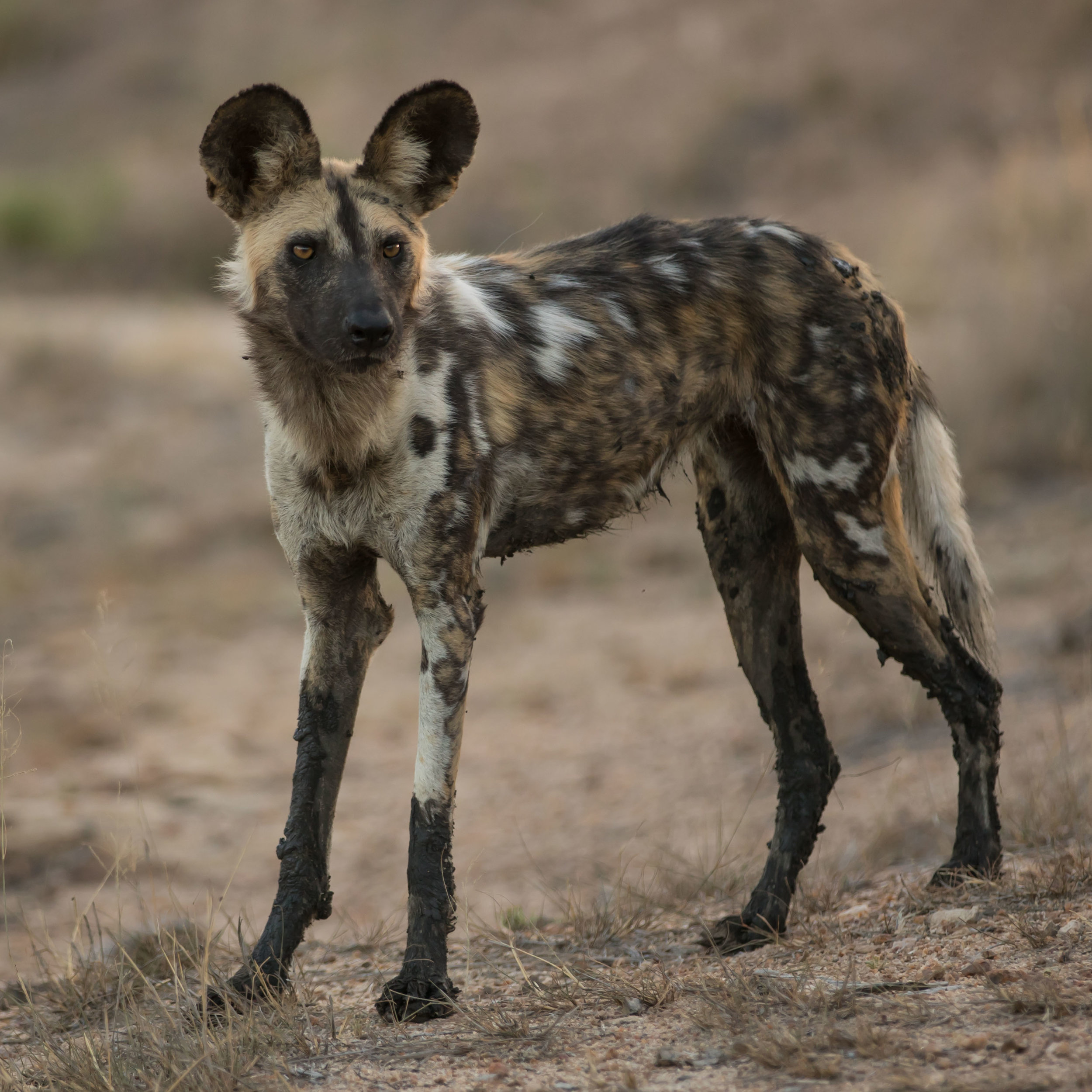 An African wild dog looks with intent at one of its pack members.