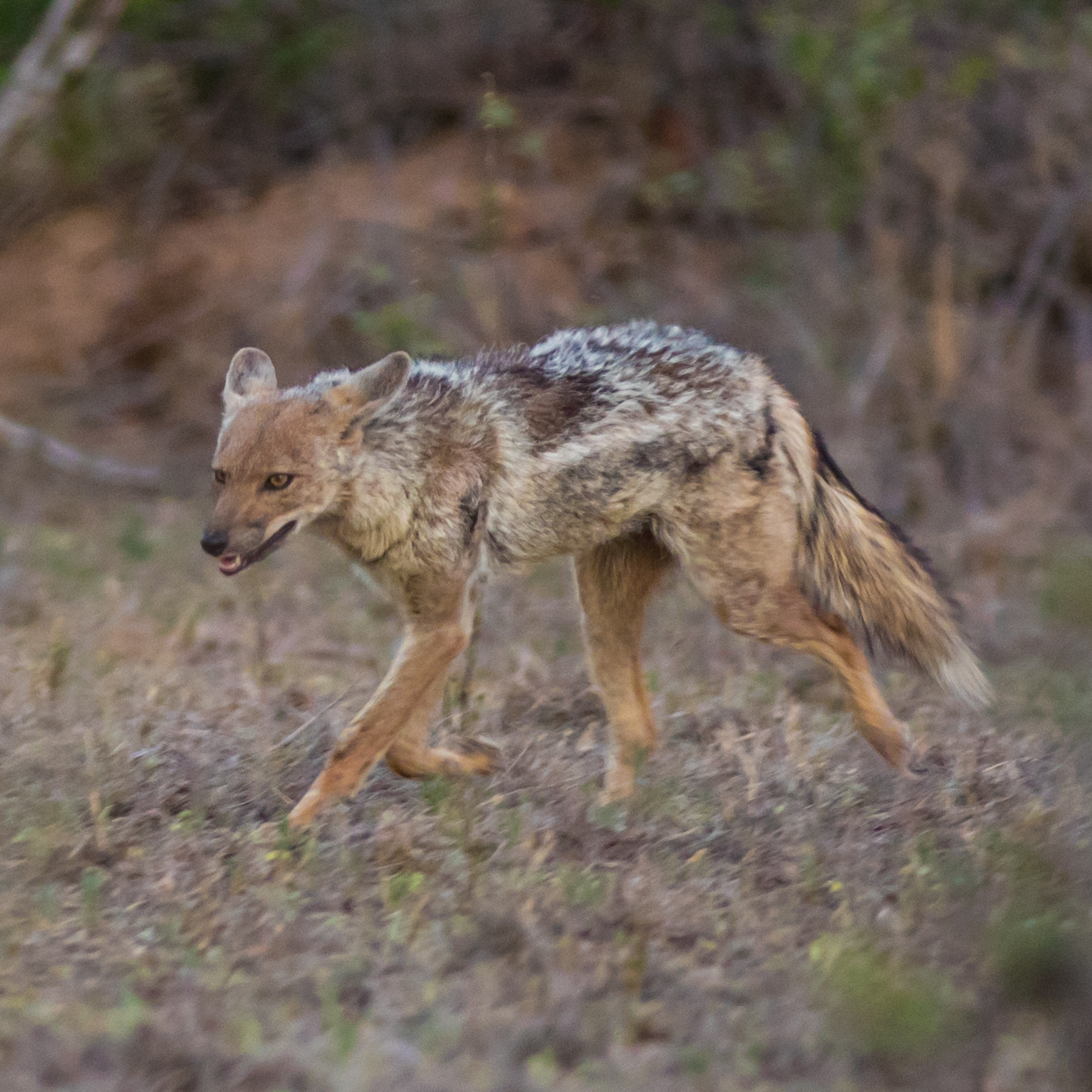An adult side-striped jackal on the move.