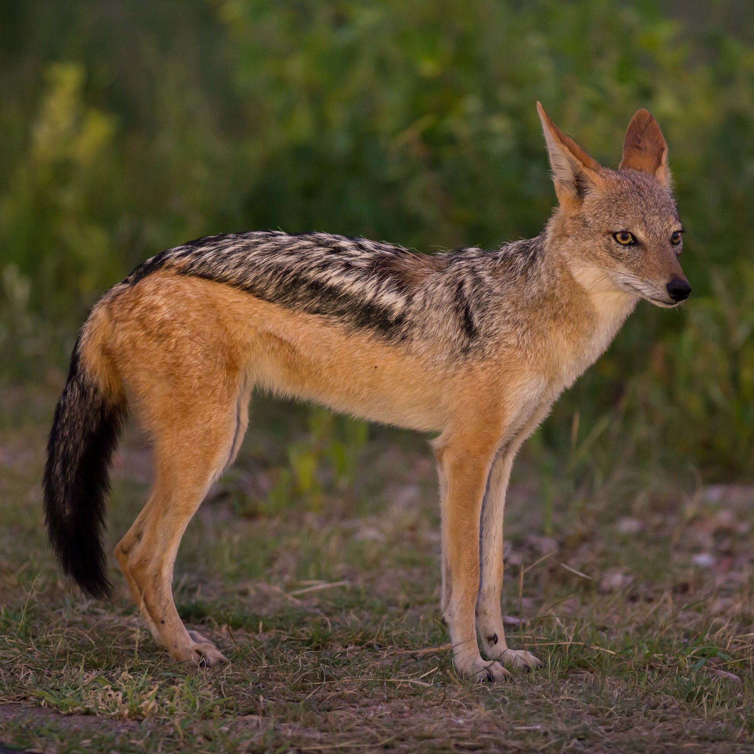 An adult black-backed jackal in the early hours of the morning.