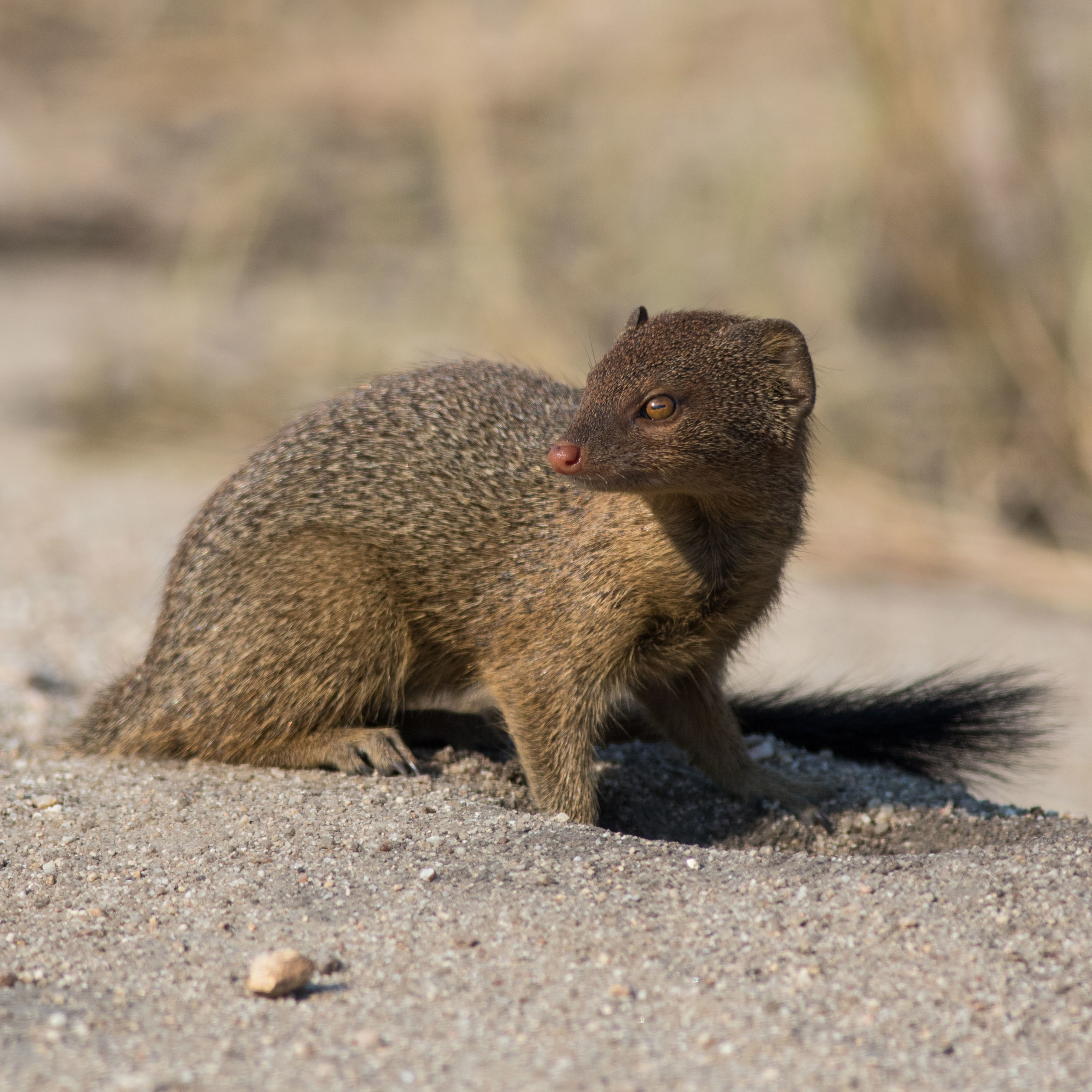 An adult slender mongoose checks his surrounding before entering the burrow in front of it.