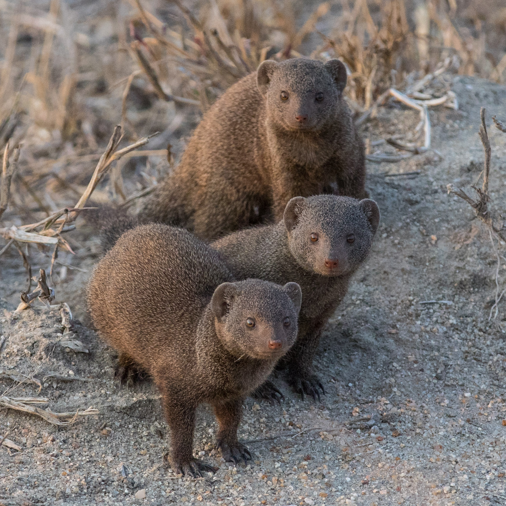 Three inquisitive dwarf mongooses investigate their surroundings together..