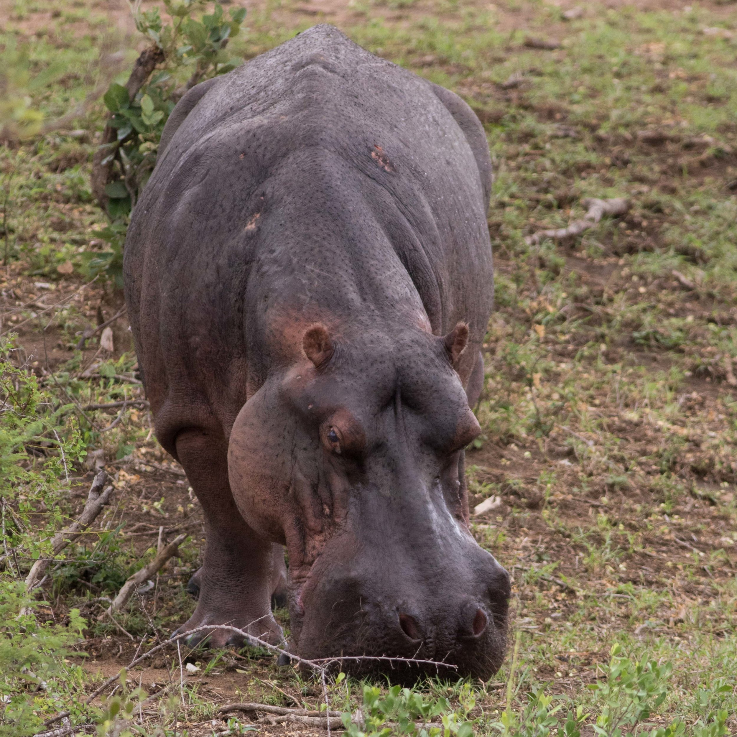An adult hippopotamus ventures away from the safety of water to forage during an overcast day.