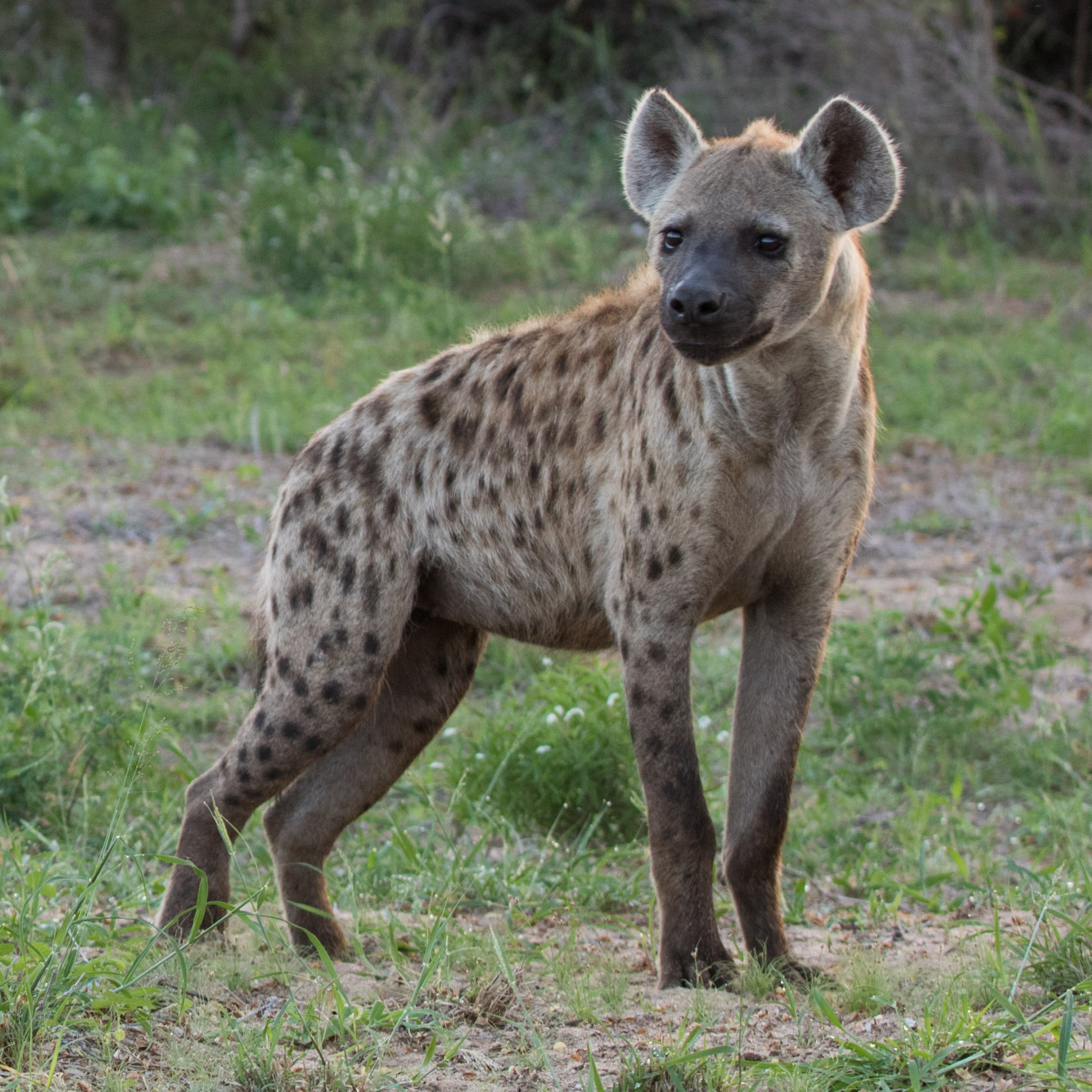A spotted hyena looks into the distance, possibly towards another clan member.
