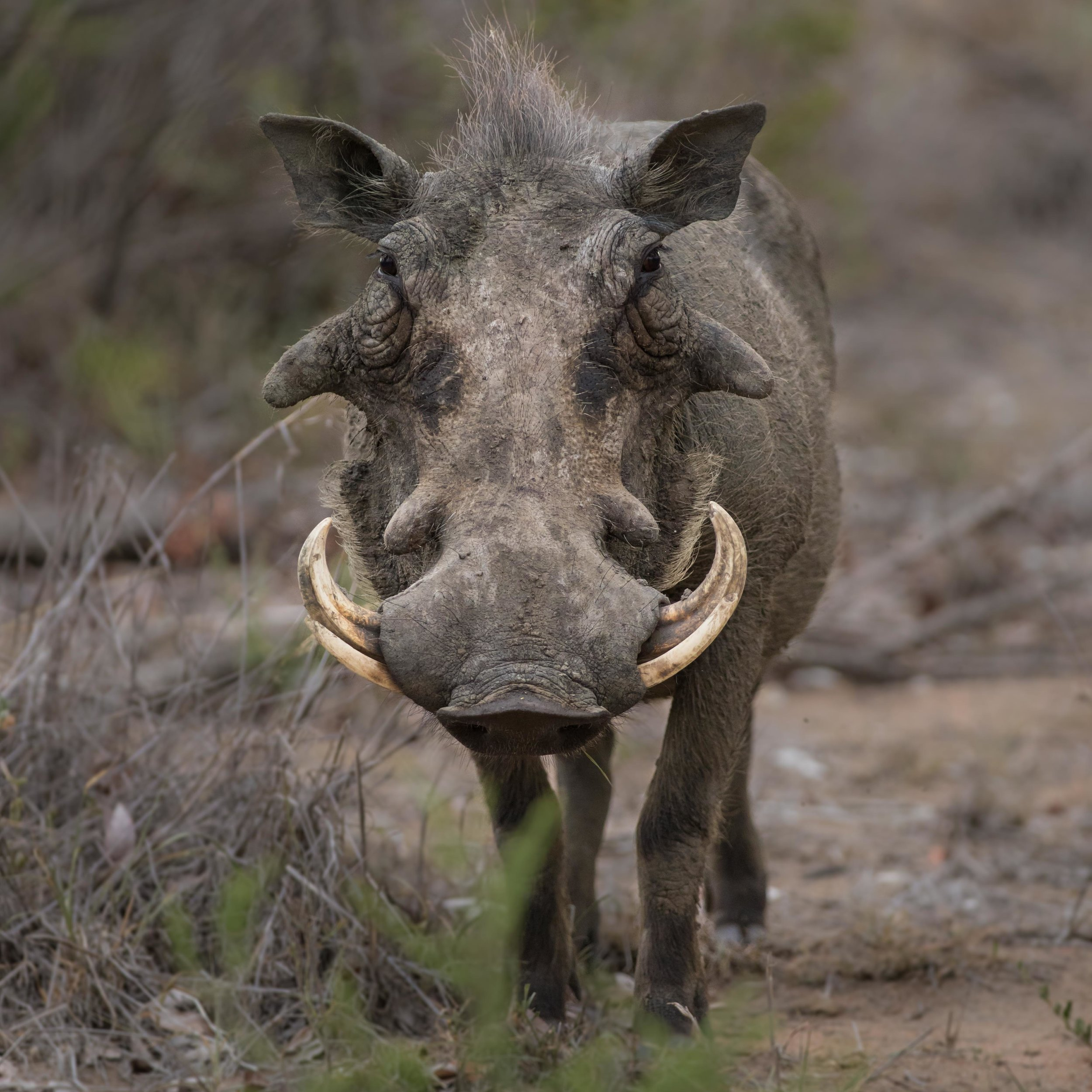 A male warthog stands motionless for a short while.