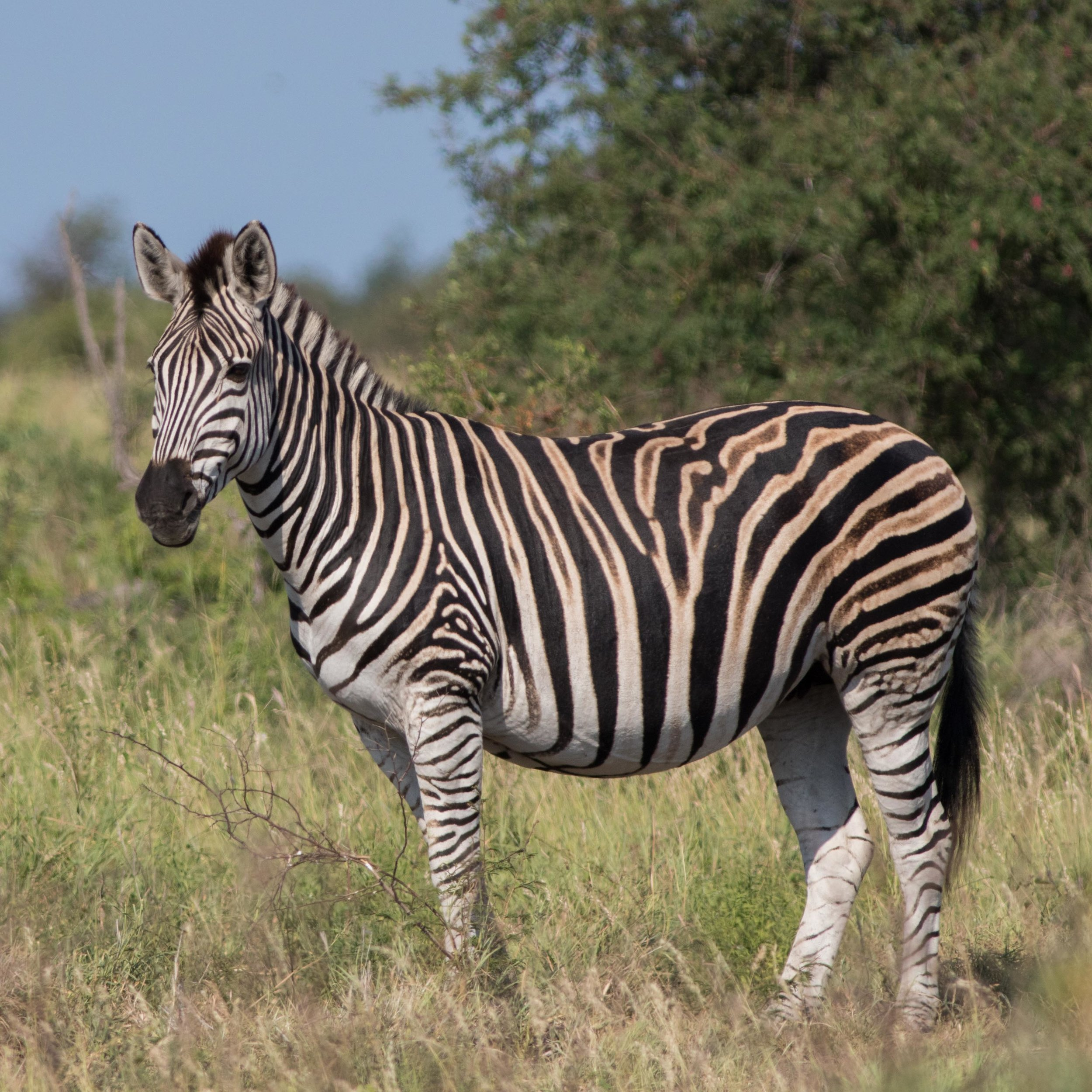 An pregnant female zebra takes a break from feeding to scan her surroundings.