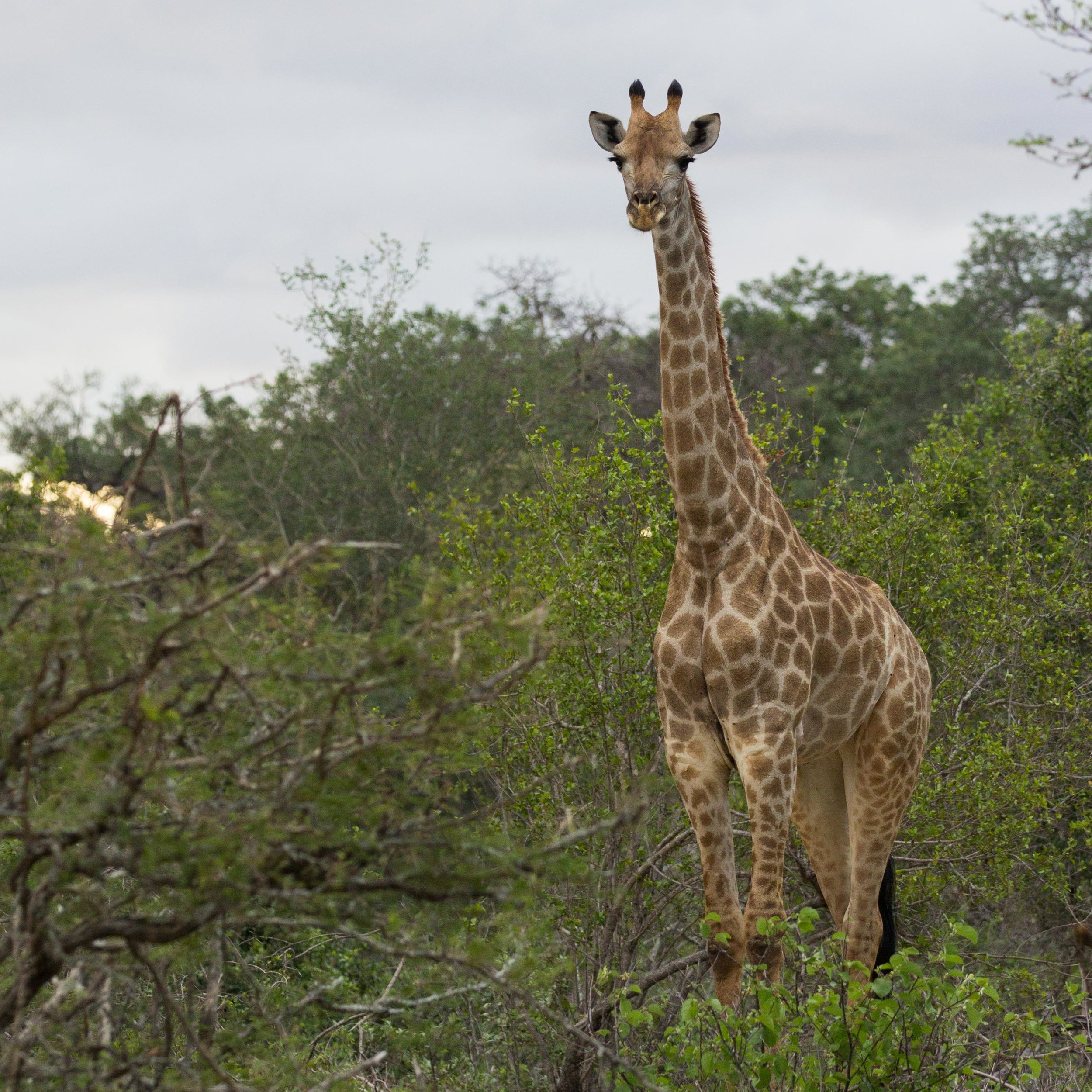 An adult female Southern giraffe stands motionless while inspecting her surroundings.