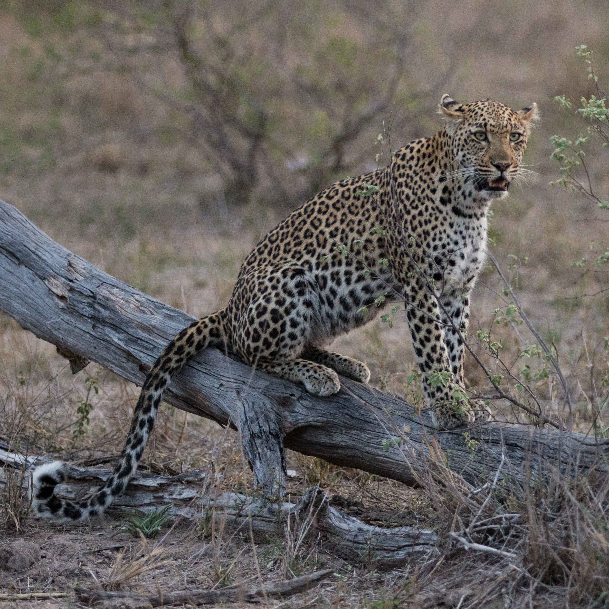 An adult female leopard searches for her cub from a decent vantage point.