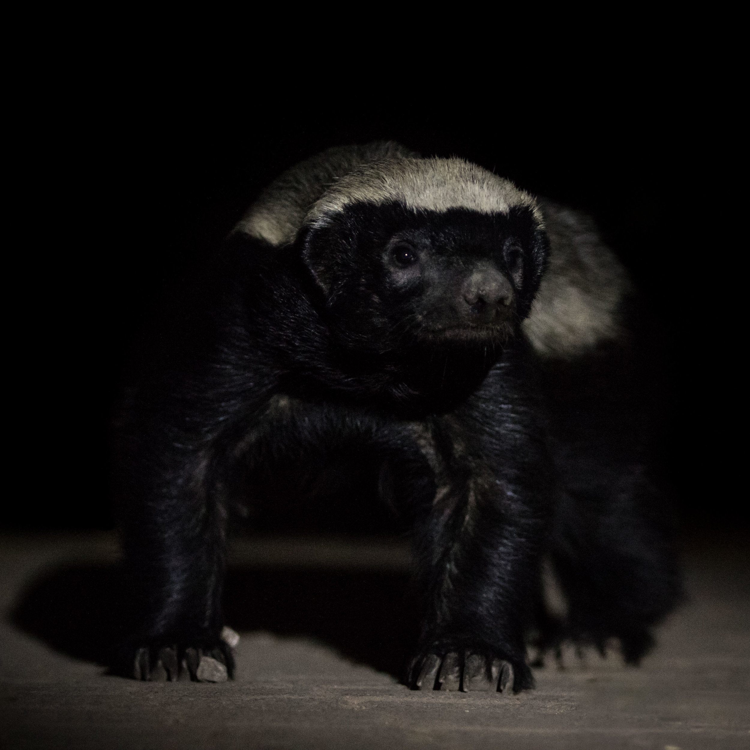 A nocturnal honey badger inspects its surroundings.