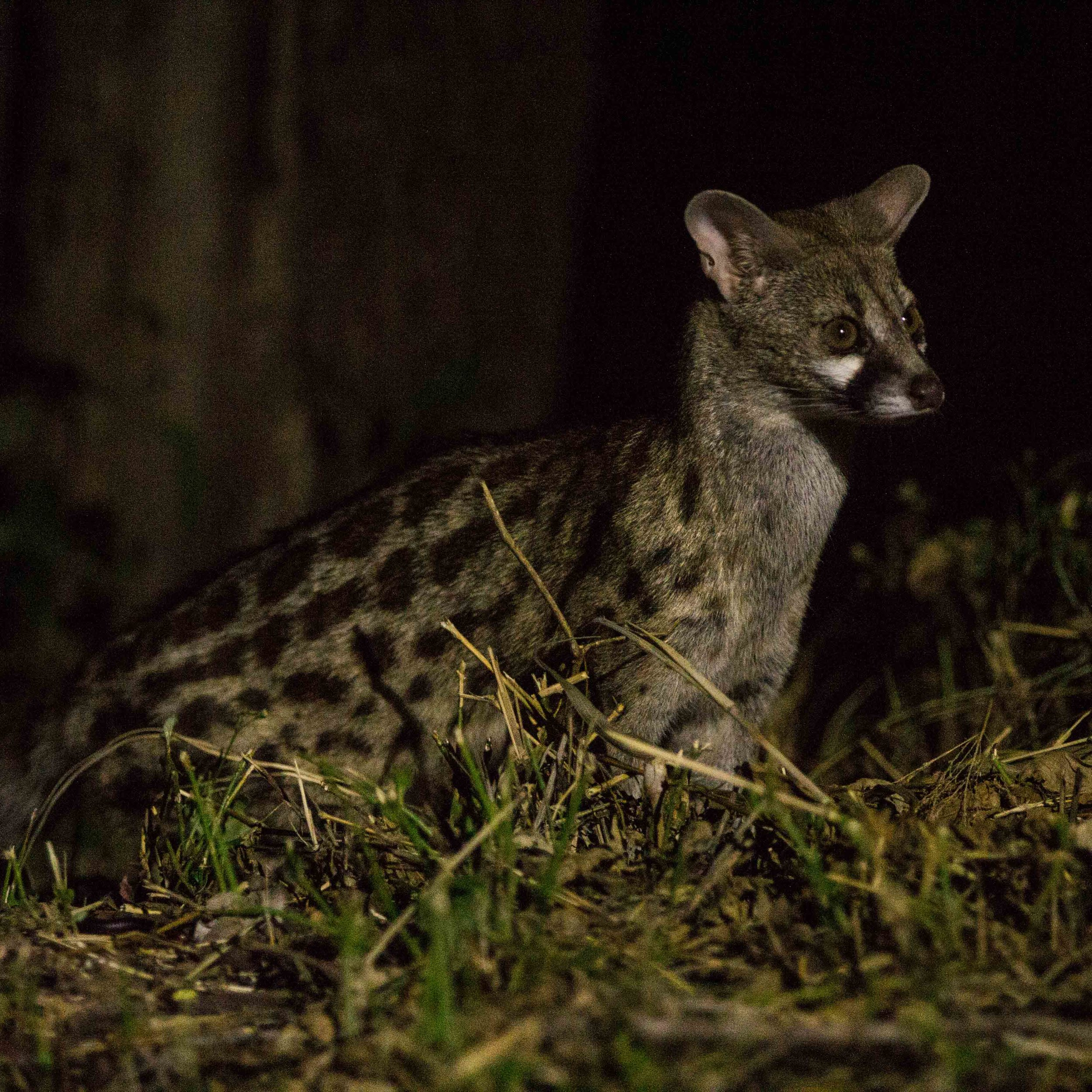 A large-spotted genet pauses briefly before continuing on its way.
