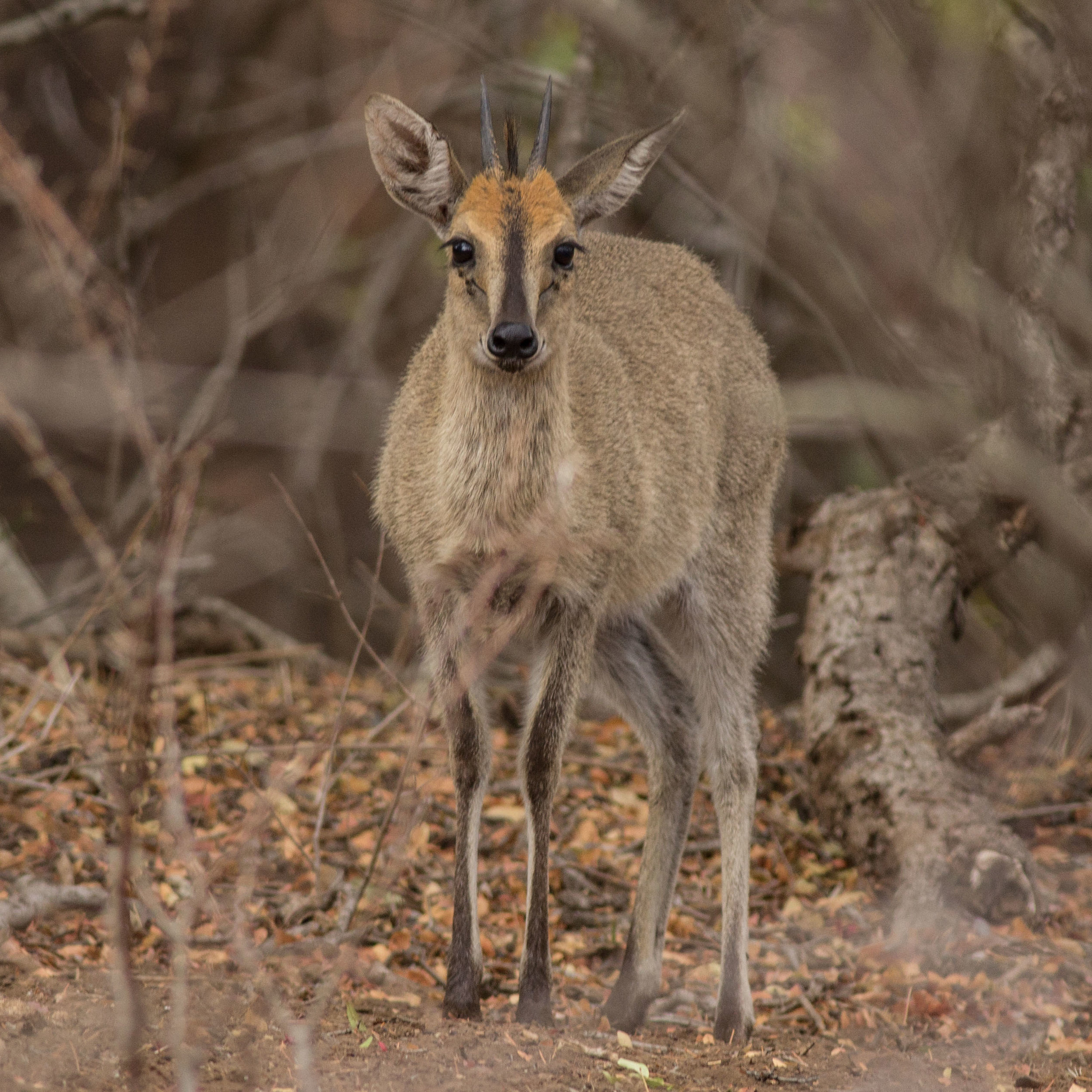 An adult male duiker pauses briefly before running into the thickets.