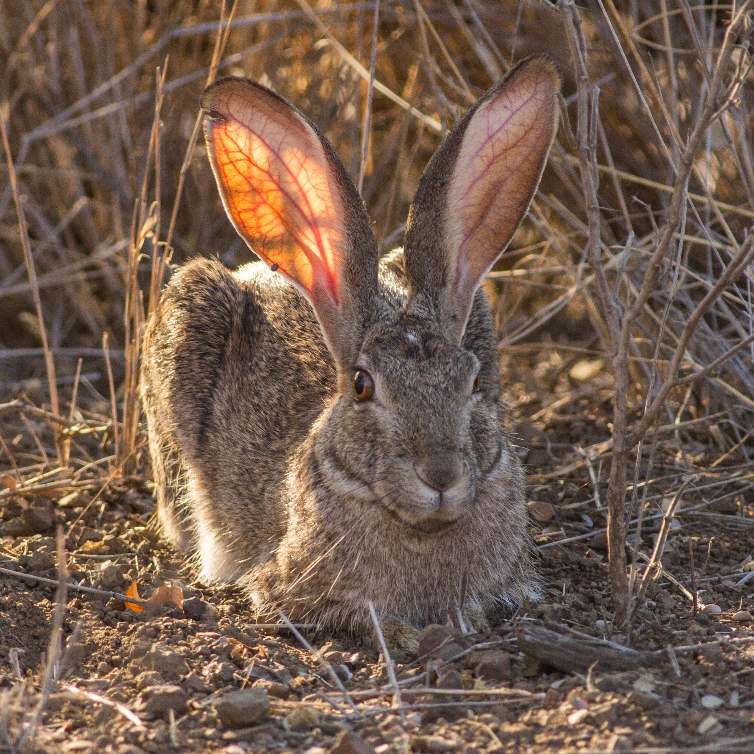 An adult scrub hare rests motionless in broad daylight.