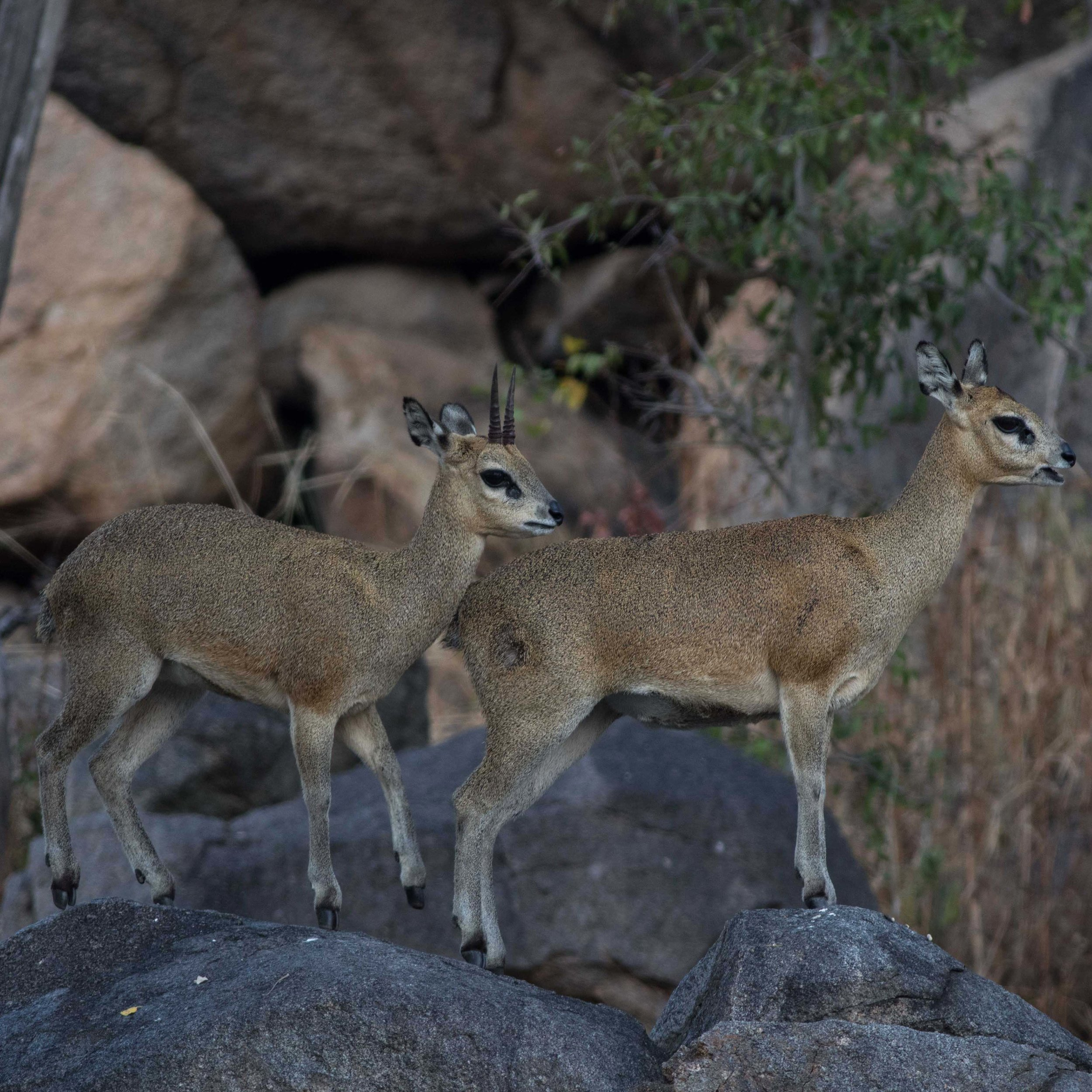 A male (left) and a female (right) klipspringer stand on a rocky outcrop.