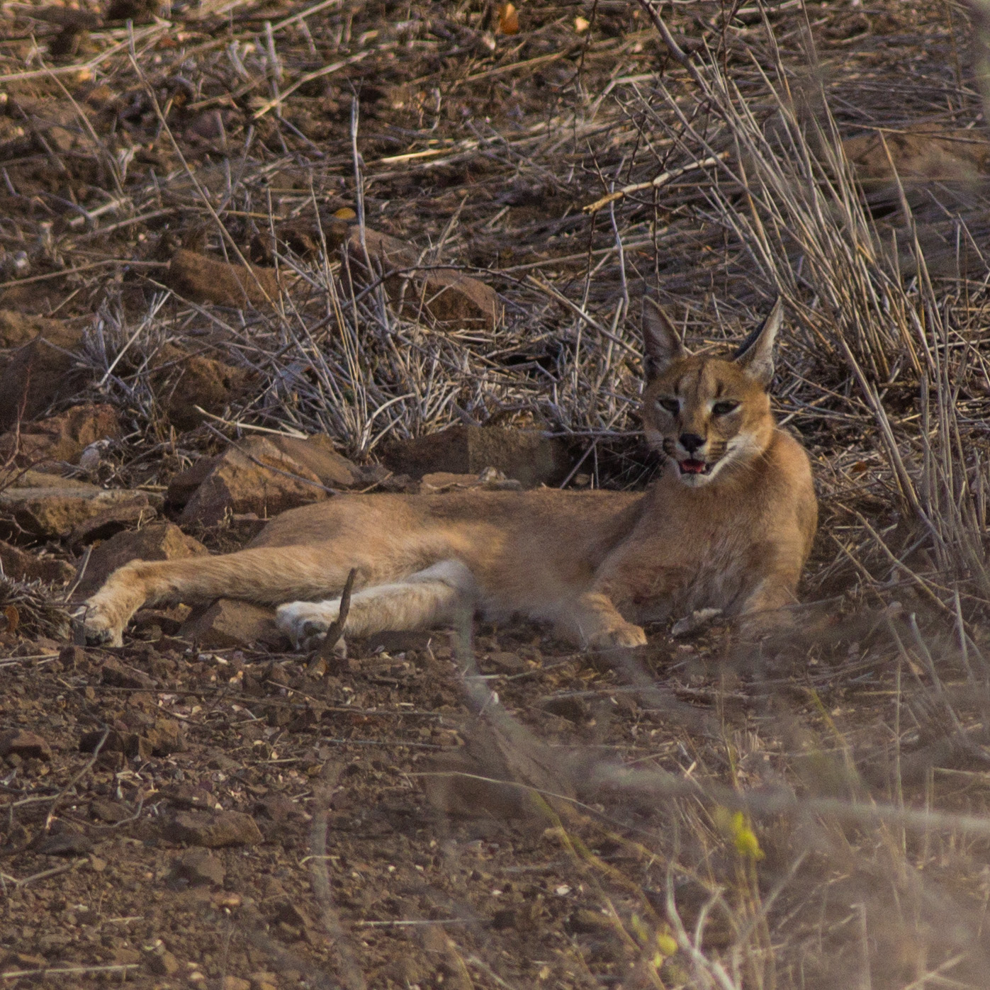An adult caracal rests after successfully catching a scrub hare.
