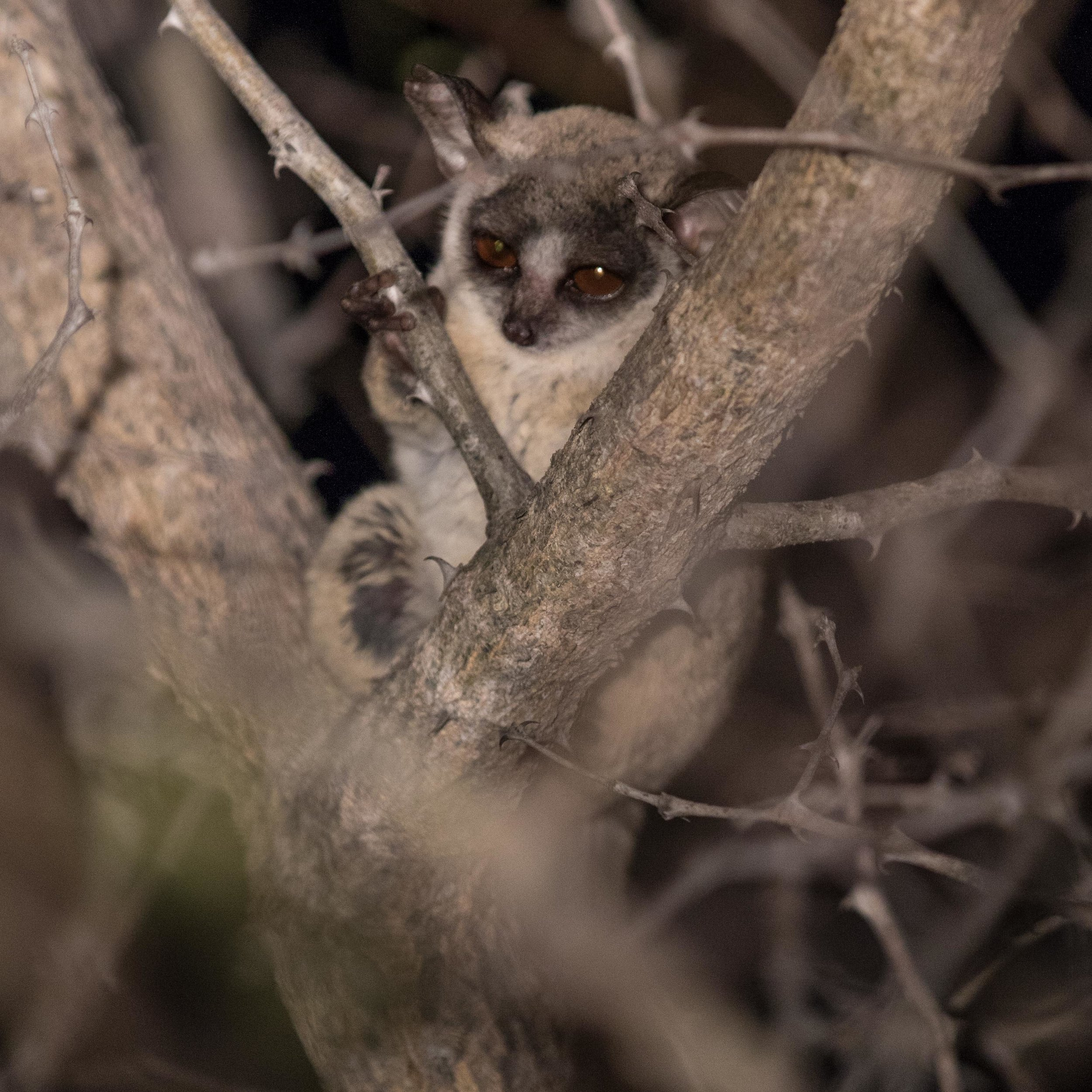 A lesser bushbaby rests in the fork of an acacia tree.