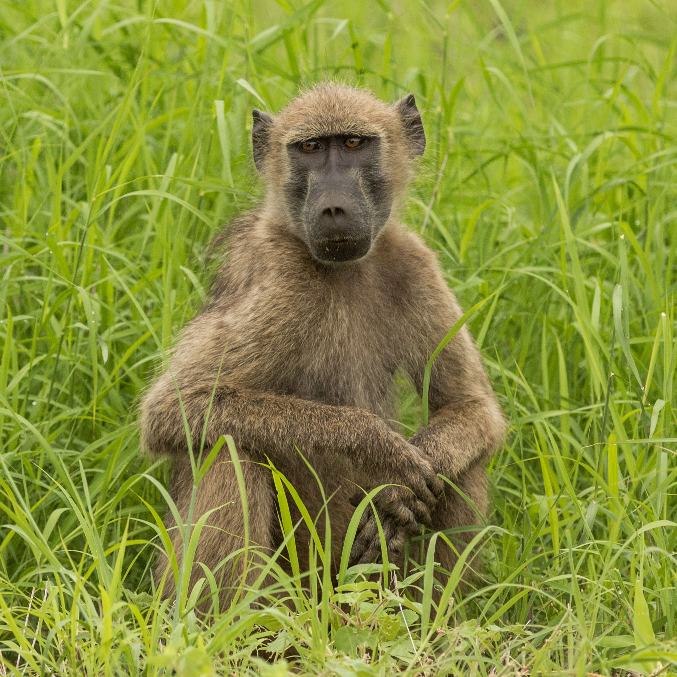 A chacma baboon sits in the lush green summer grasses.