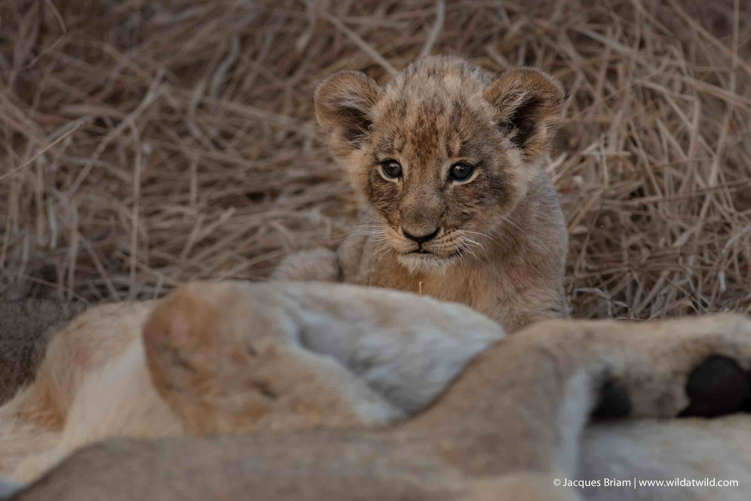 One of the newborn Mountain Pride cubs stares at us while hiding behind its mother.
