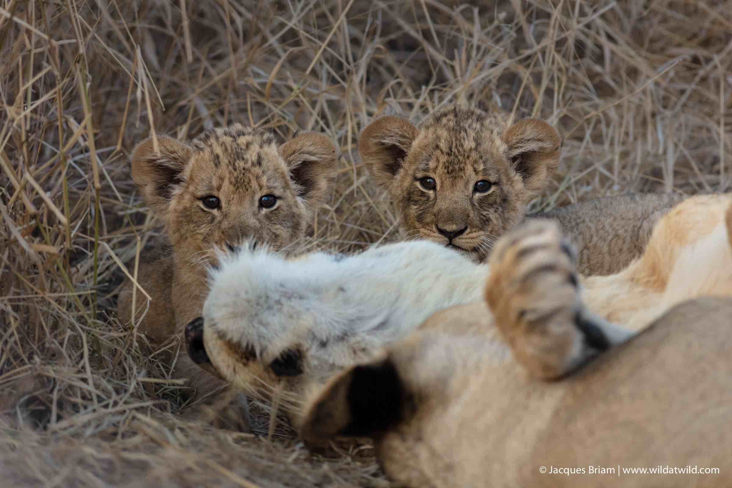 The two other cubs are equally curious as they peer at us from behind their mother.