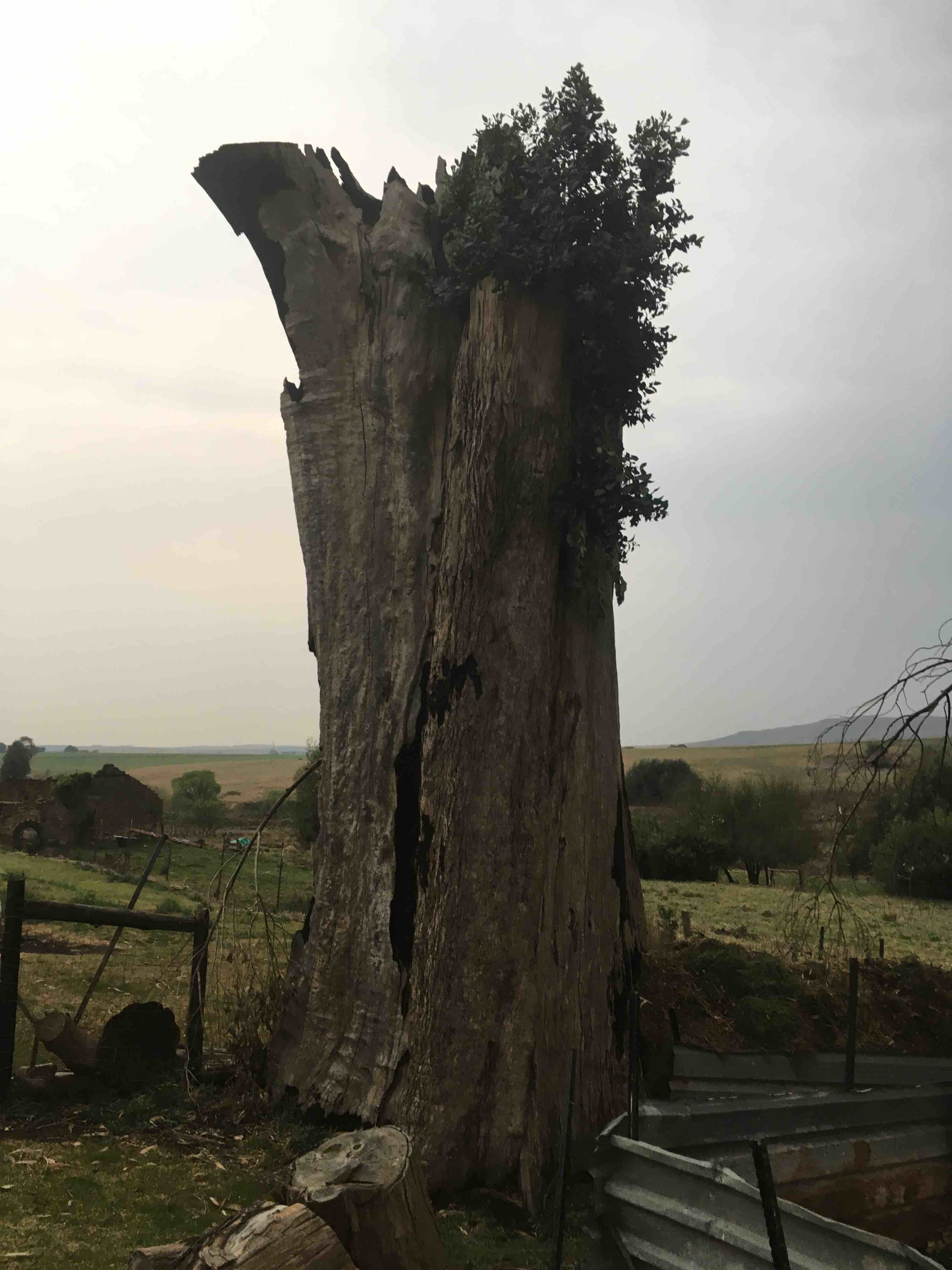 The nest was at the top of this tree stump (over five meters high).