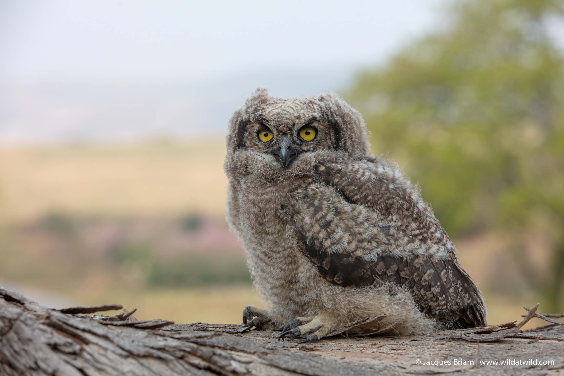 In the coming weeks, this Spotted Eagle-Owl chick should be able to fly and begin fending for itself.