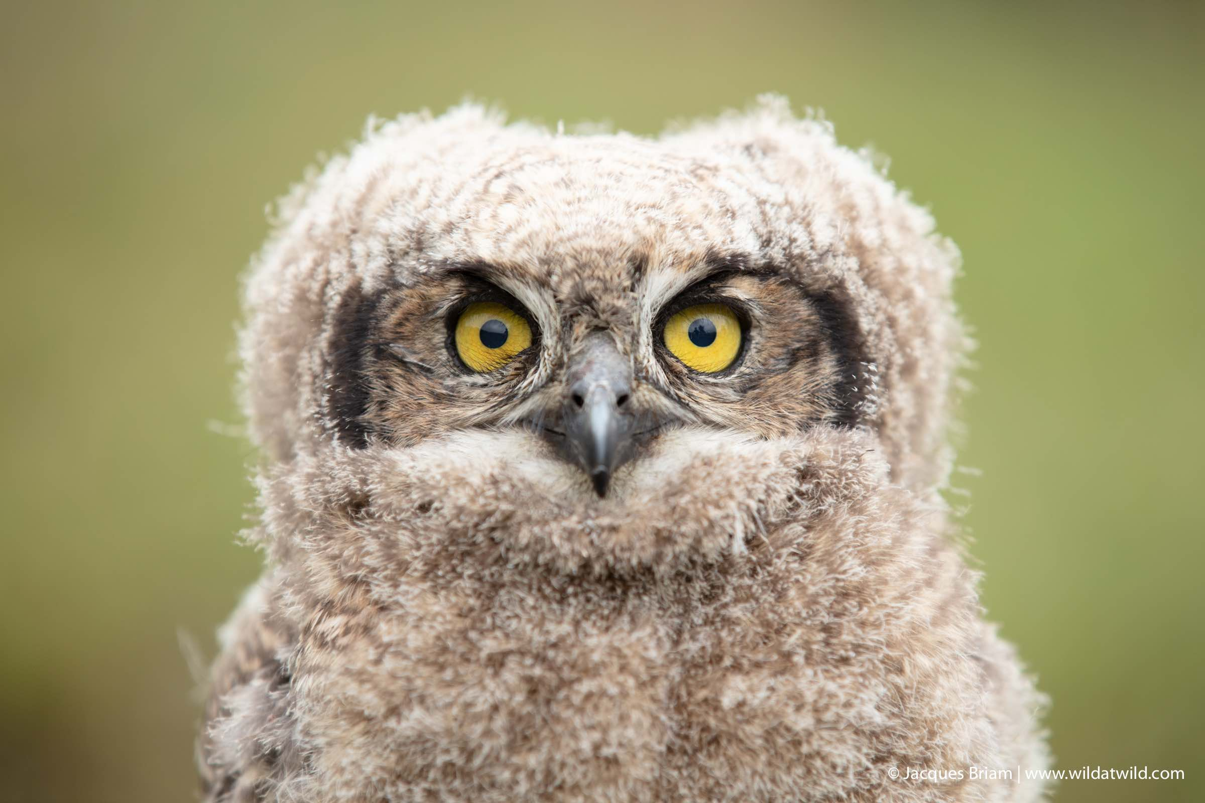 A close-up portrait of the Spotted Eagle-Owl chick that was rescued.