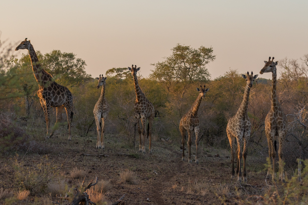 Giraffes are generally quite abundant on the N'wanetsi Concession, and I have thoroughly enjoyed seeing these beautiful giants in this unique landscape.