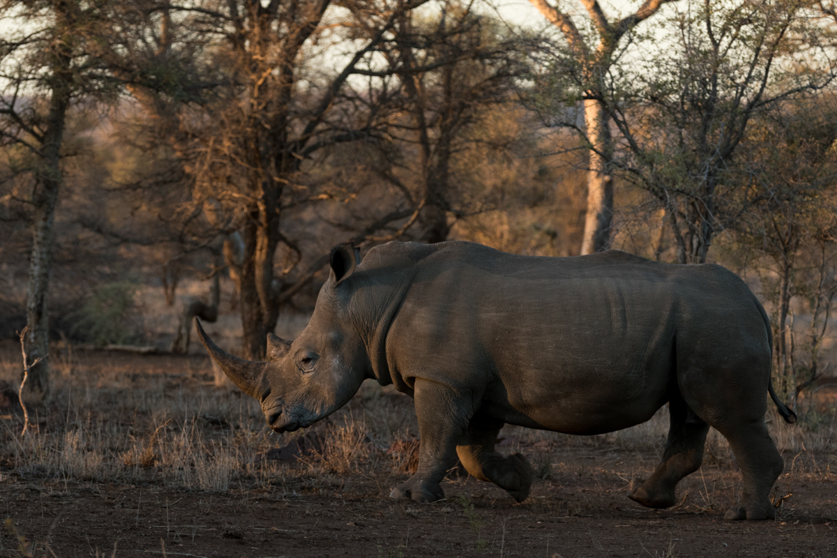 Although rhino viewing here can be quite challenging, we were lucky to come across this beautiful white rhino bull thanks to Sunday's incredible spotting skills.