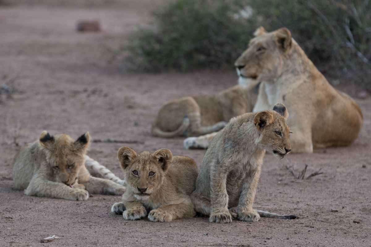The Mountain Pride, despite not being as numerous as some of the other prides in this area, has been my favourite to follow. The core of their territory is in the heart of the N'wanetsi Concession, and as such, we have gotten to know these lions quite well.