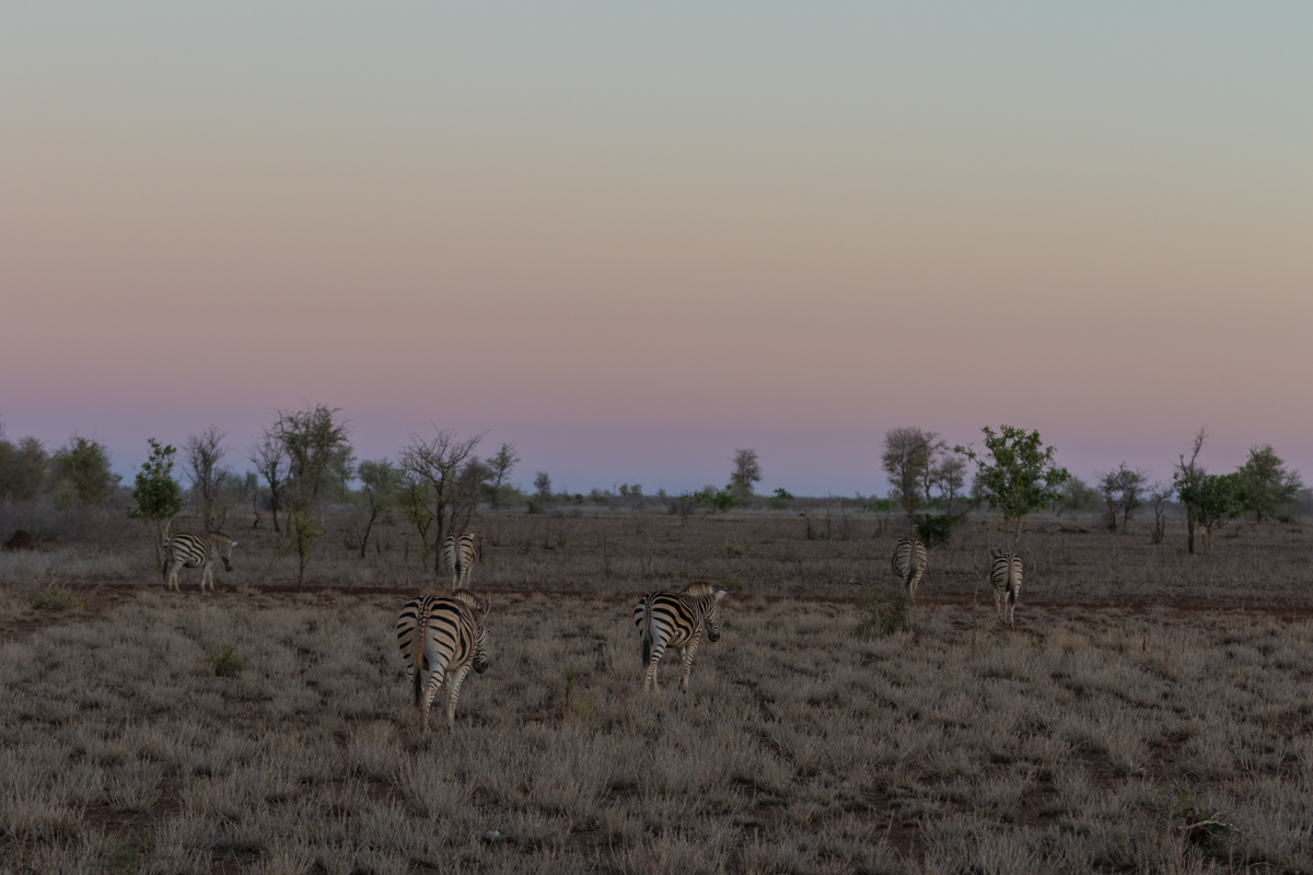 This small group of zebras wander off at dusk in preparation for the night. The high density of zebras in this part of the Kruger has been incredible to witness.