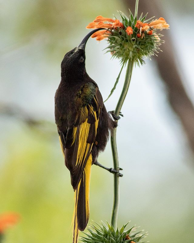 A majestic male Golden-winged Sunbird feeds on the nectar of a Leonotis flower.