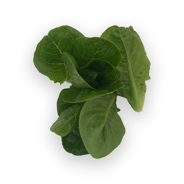 Butterhead-dragoon lettuce from Herban Produce urban farm in Chicago.